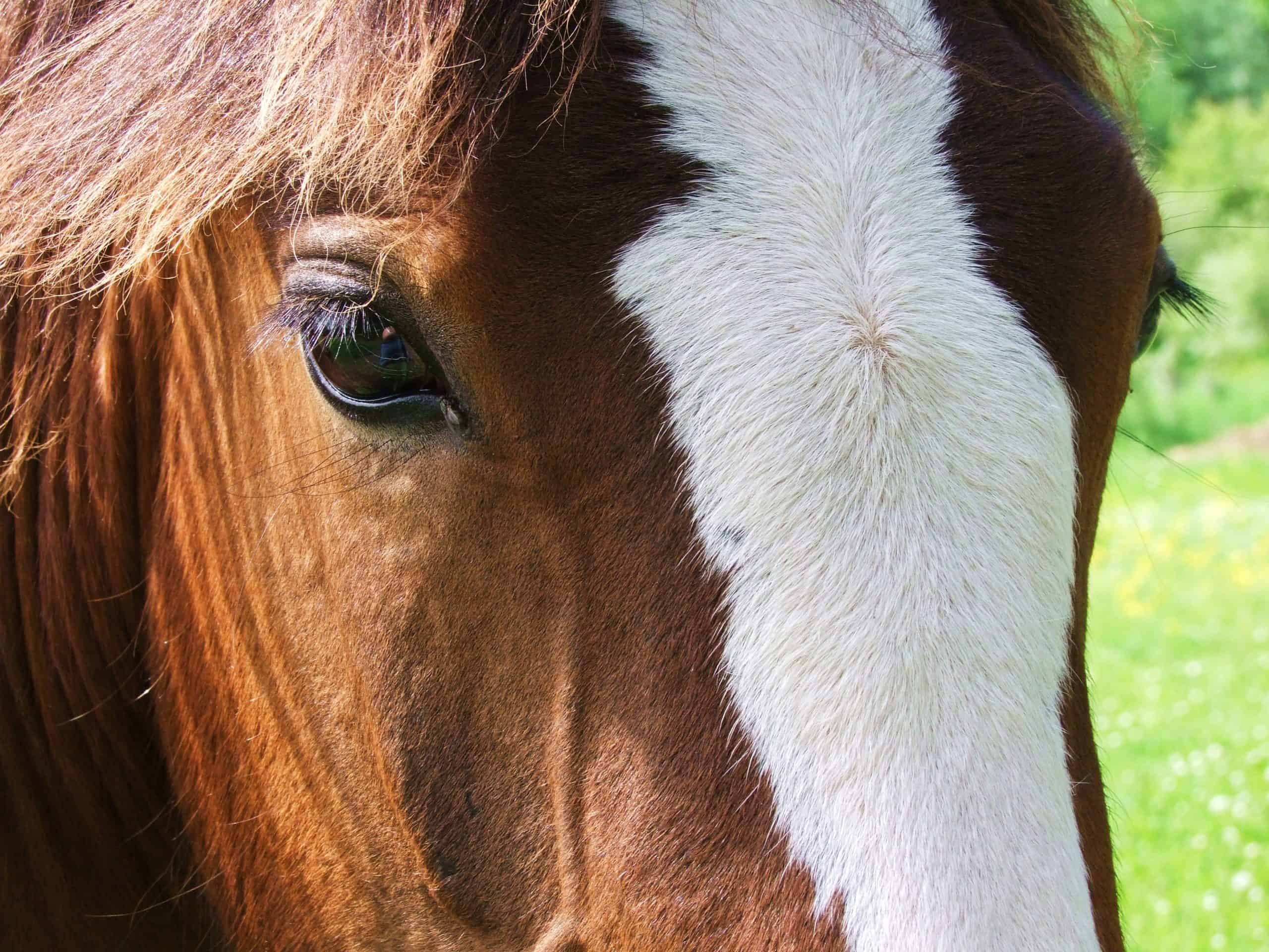 Close up head shot of a Clydesdale Horse