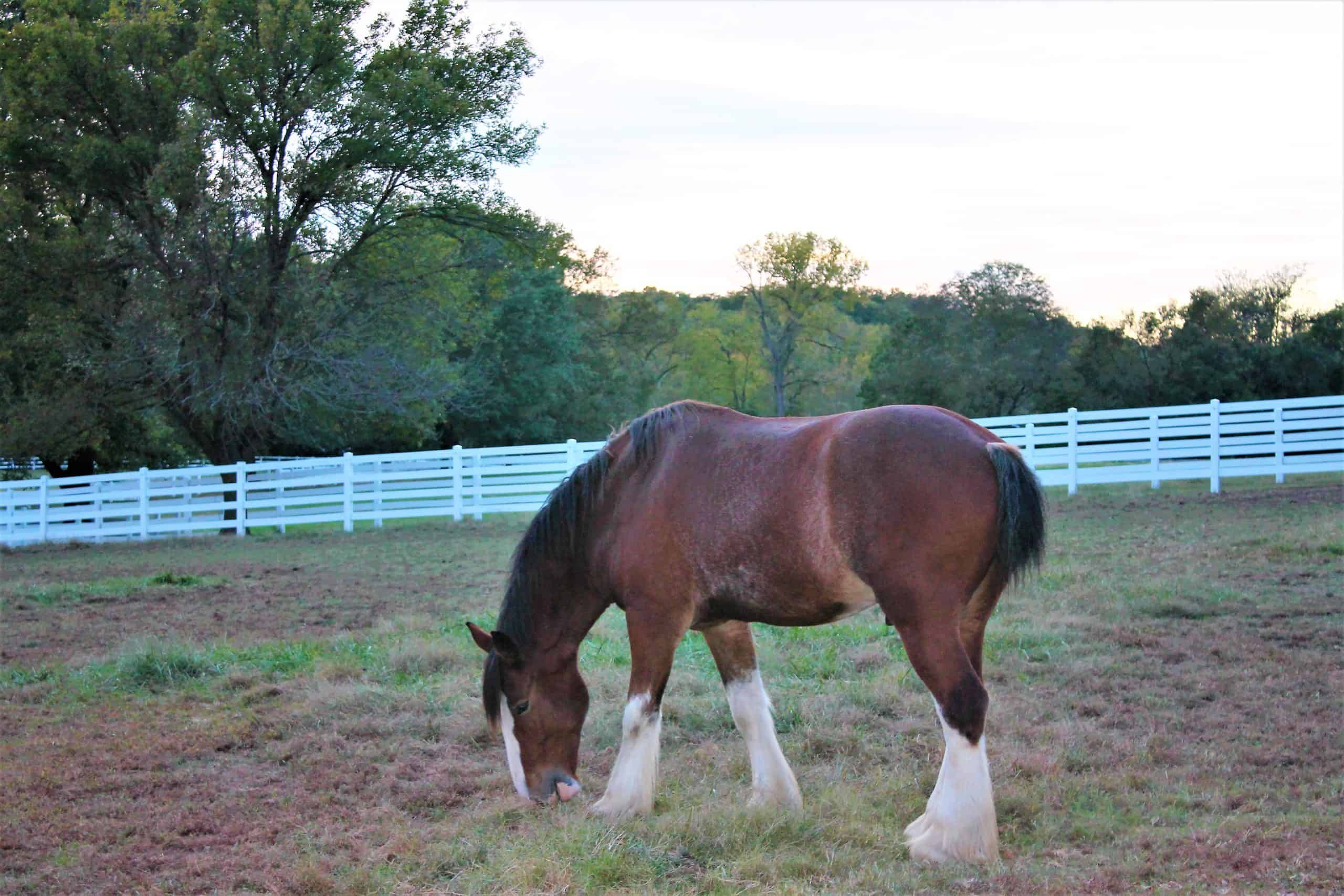 Images of Clydesdale horses in a paddock