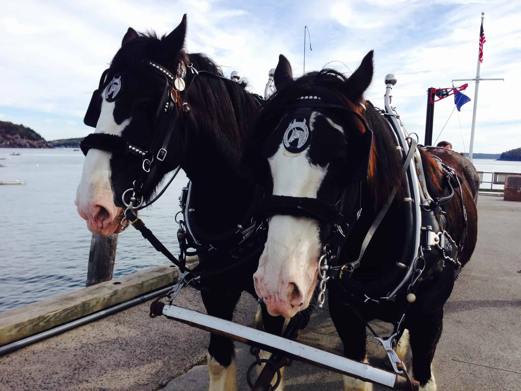 Clydesdale horses.