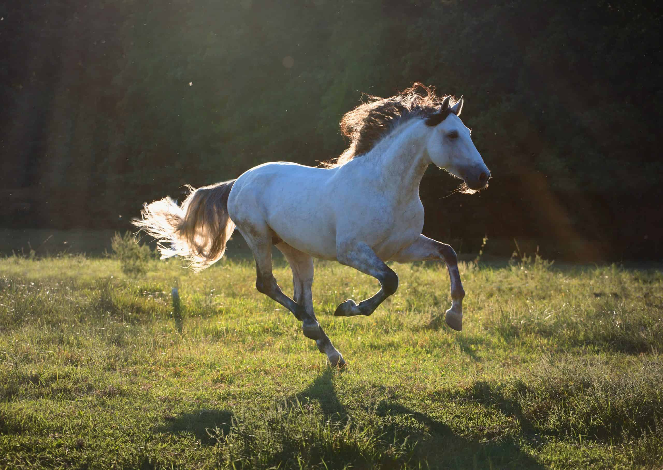 Gray horse run on the dark green background in the sun light at the summer