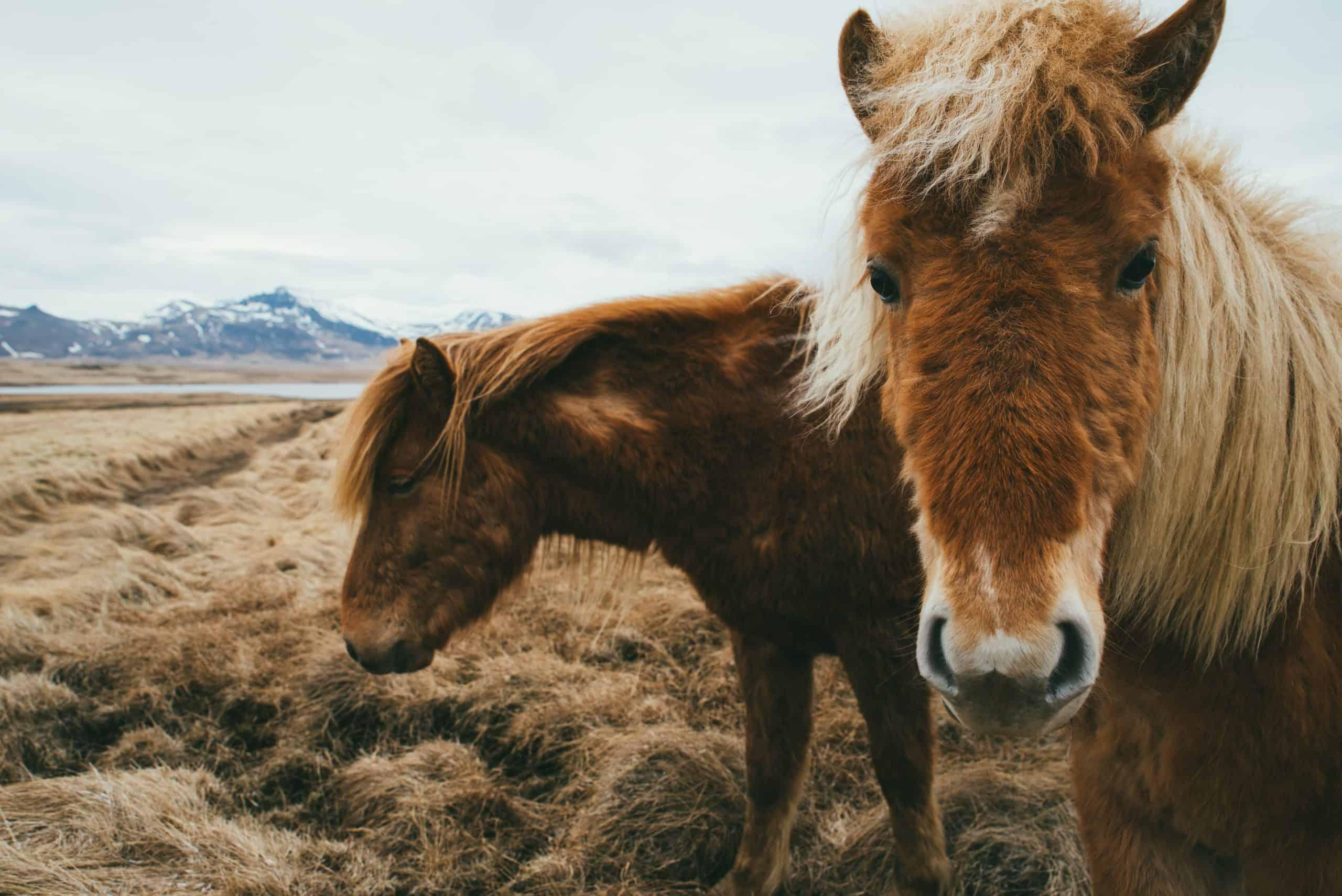 Icelandic horses in a field