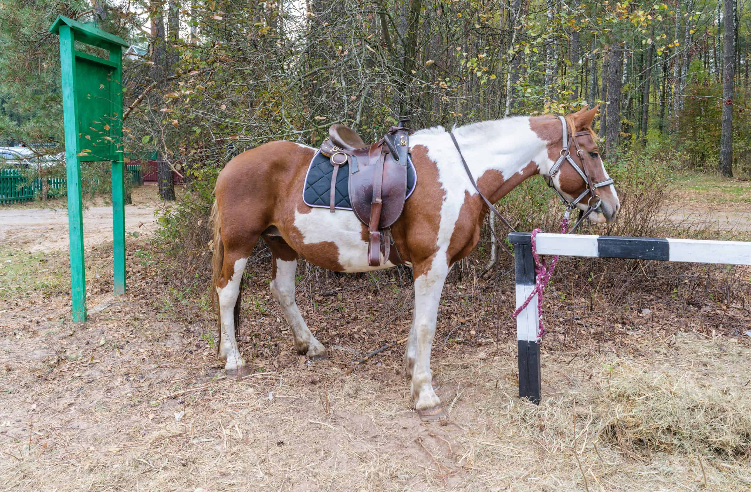 Red-white horse with a saddle and harness is on a leash