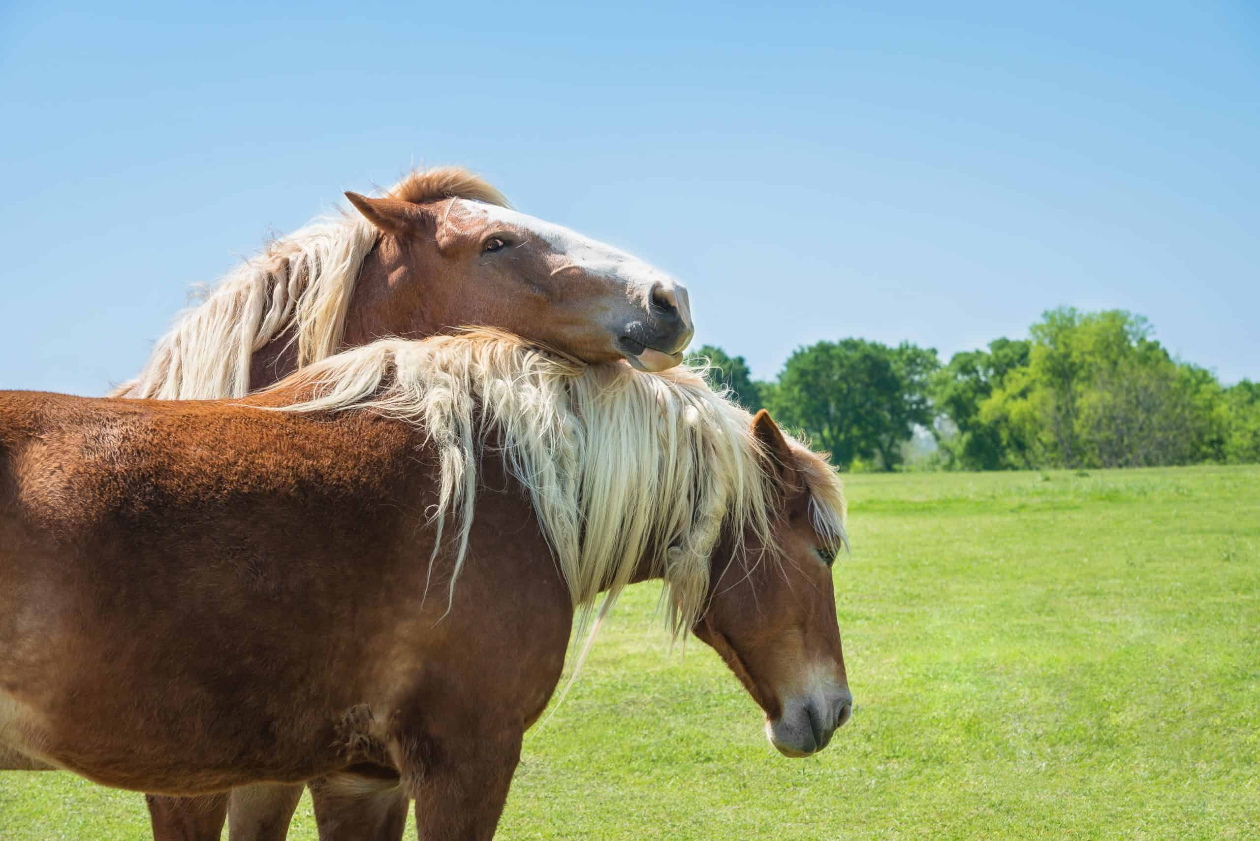Two Belgian Draft Horses grooming each other in Texas spring. Green pasture and blue sky background with copy space.