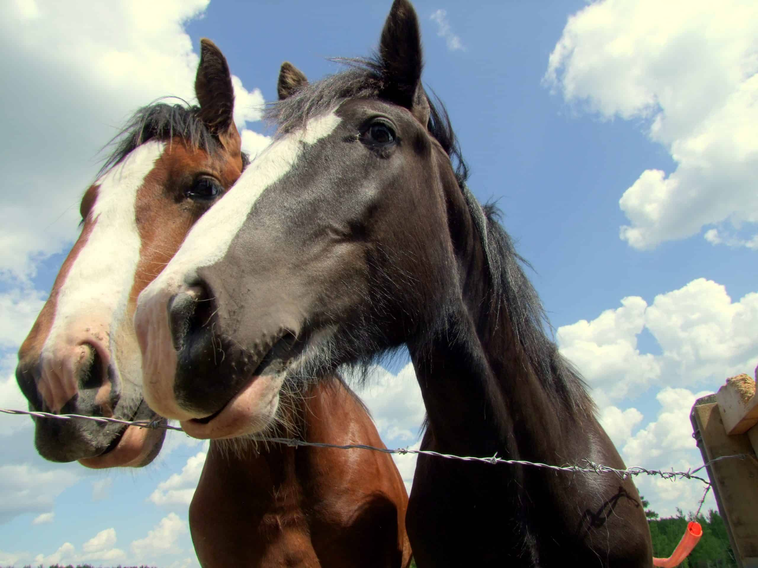 Two Clydesdale horse at the farm