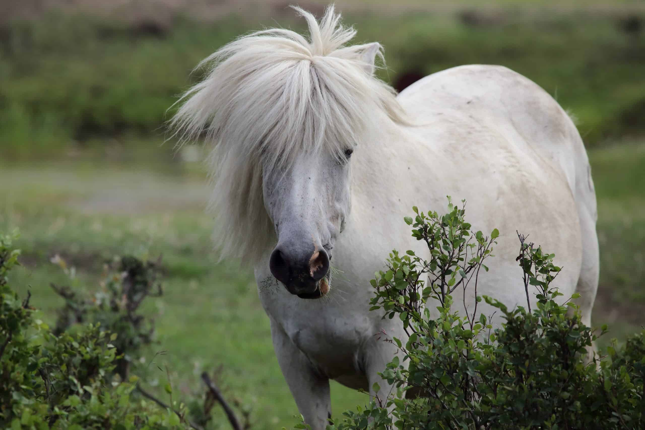 White Yakut horse. Yakutia. Russia.