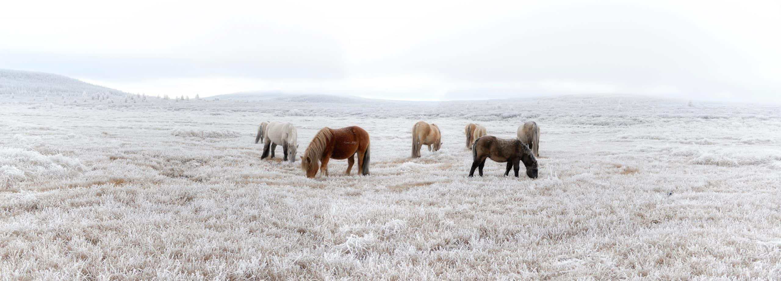 The Yakutian horse Yakut: ???? ???, Sakha ata, sometimes called the Yakut horse, Yakut pony or simply the Yakut, is a rare native horse breed from the Siberian Sakha Republic or Yakutia region. It is large compared to the otherwise similar Mongolian horse and Przewalski`s horse It is noted for its adaptation to the extreme cold climate of Yakutia, including the ability to locate and graze on vegetation that is under deep snow cover, and to survive without shelter in temperatures that reach ?70 °C ?94 °F