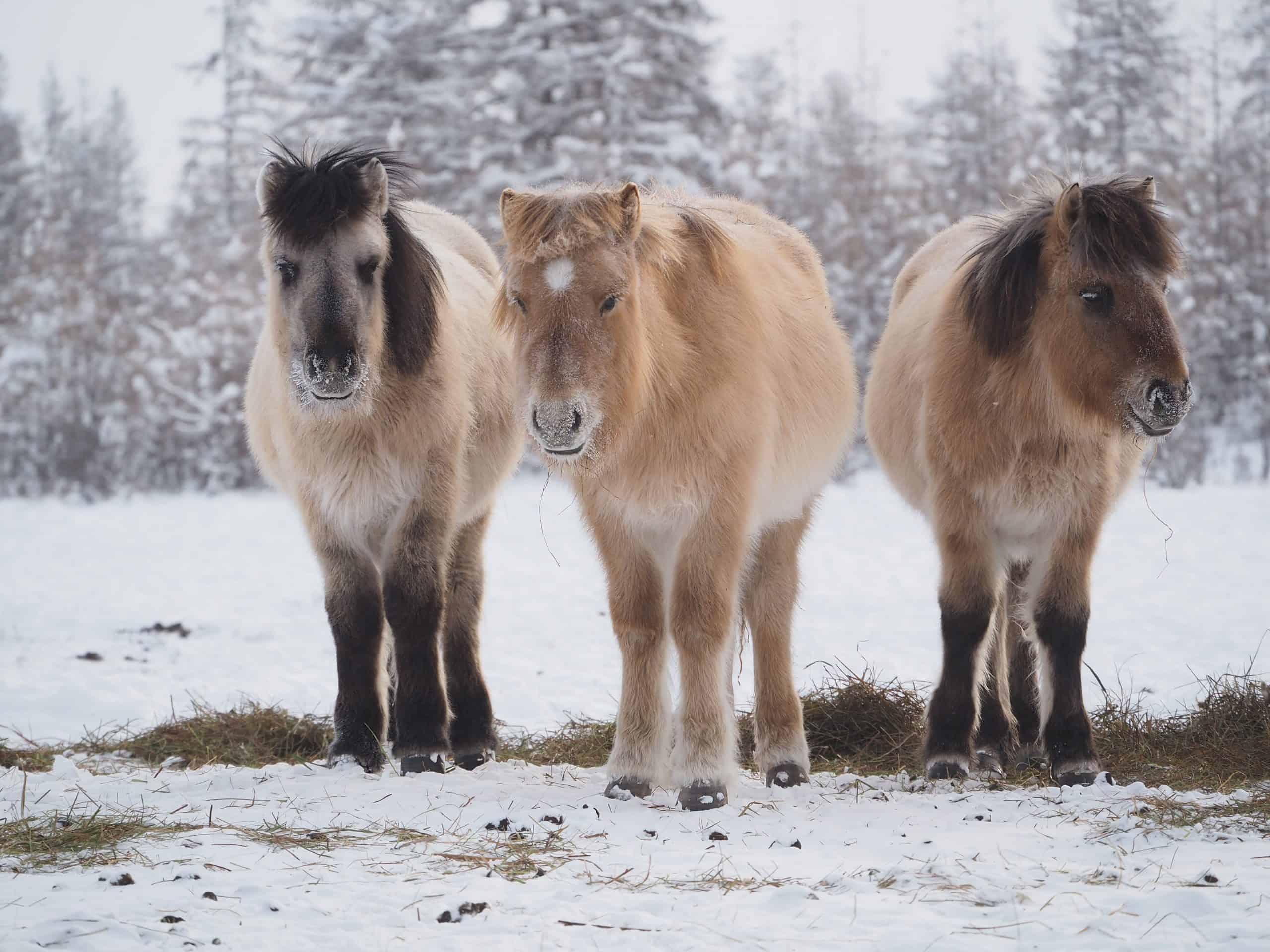 Yakut horses graze at winter sunset, Yakutia, Russia