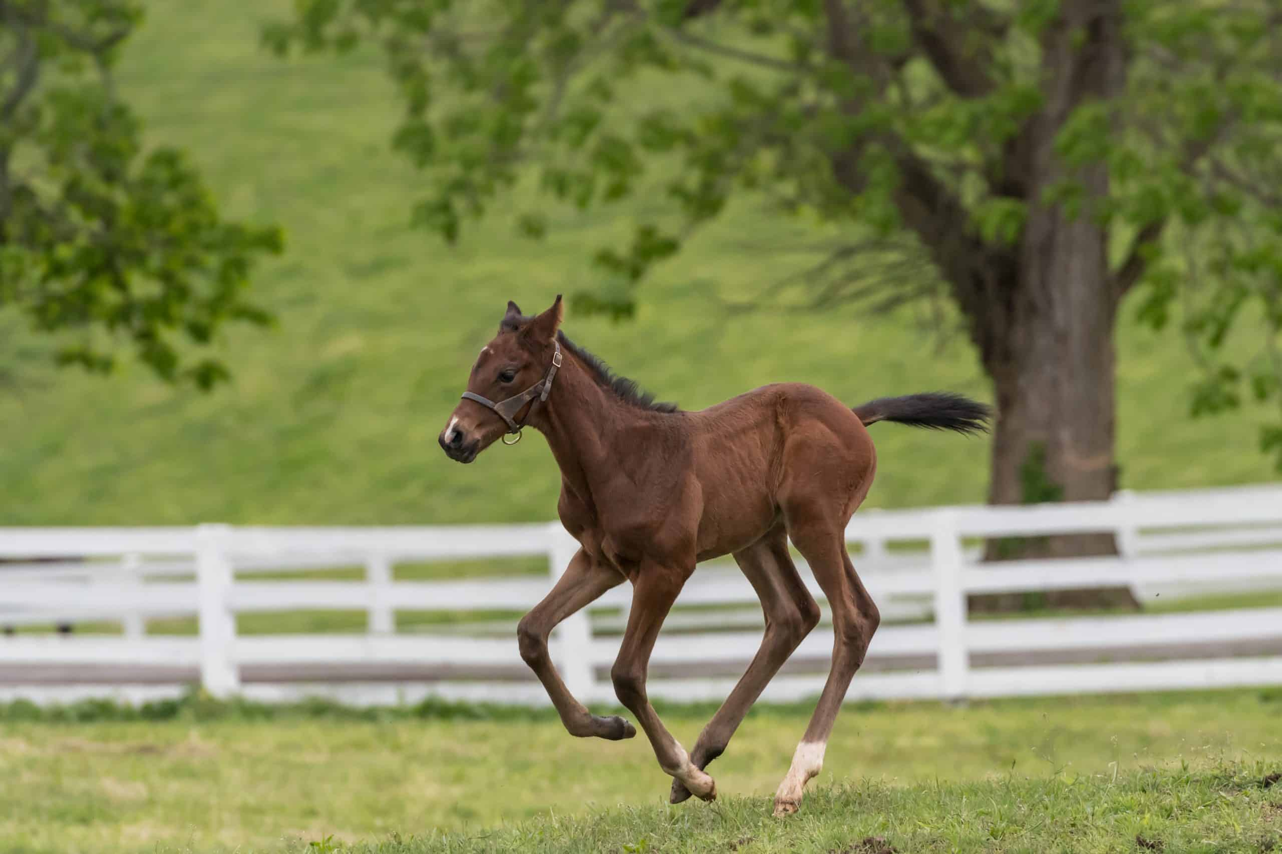 Young Foal Tests Out His Legs in Green field