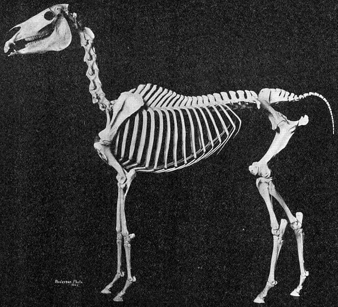 a4 662px-Arabian_horse_skeleton