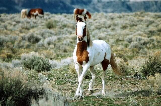 feral-horse-602277_640