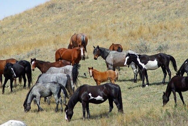 feral-horses-861684_640