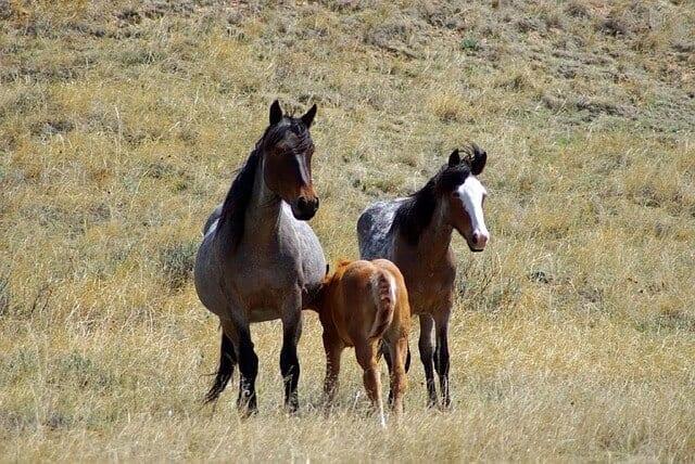 feral-horses-865520_640