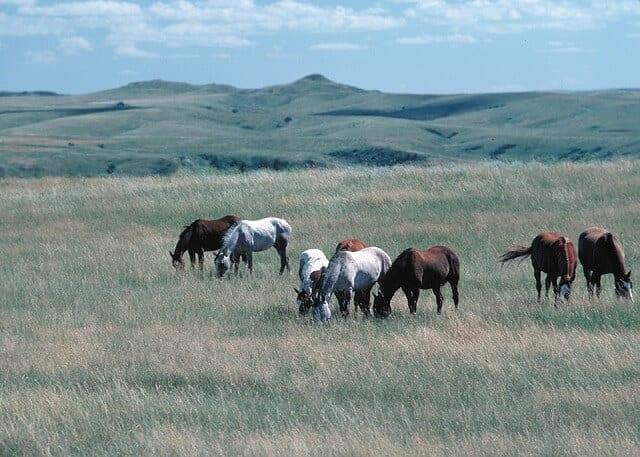 feral-horses-898371_640