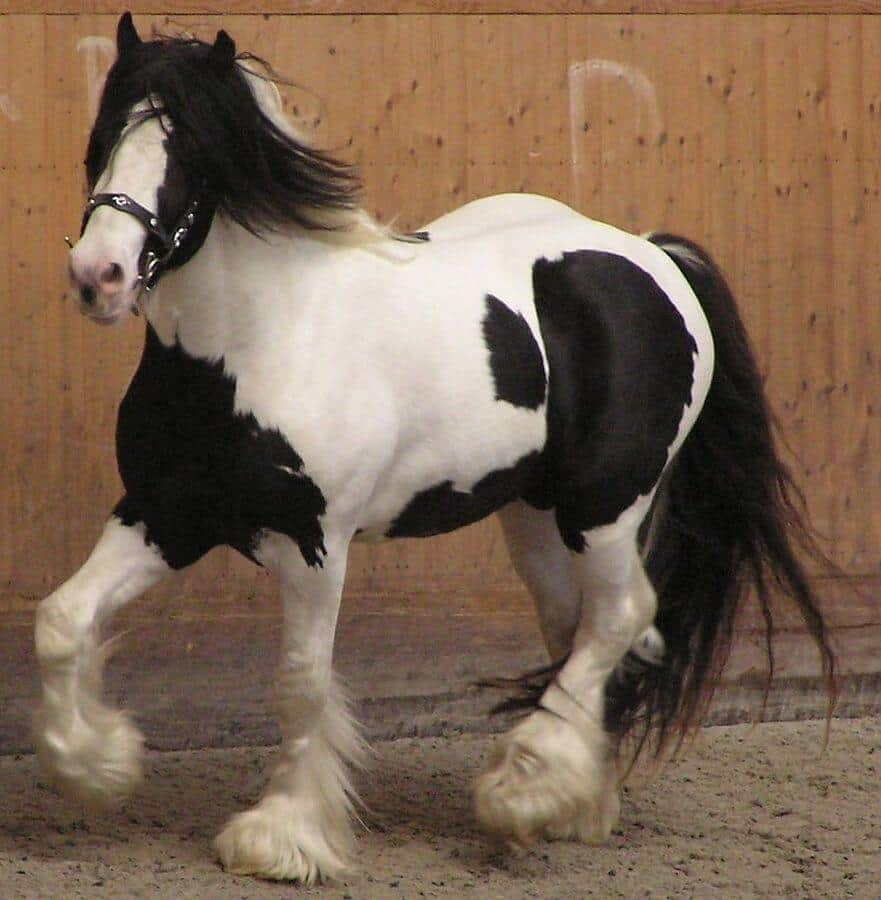 Gypsy Vanner. By Karakal - Own work, CC BY-SA 3.0