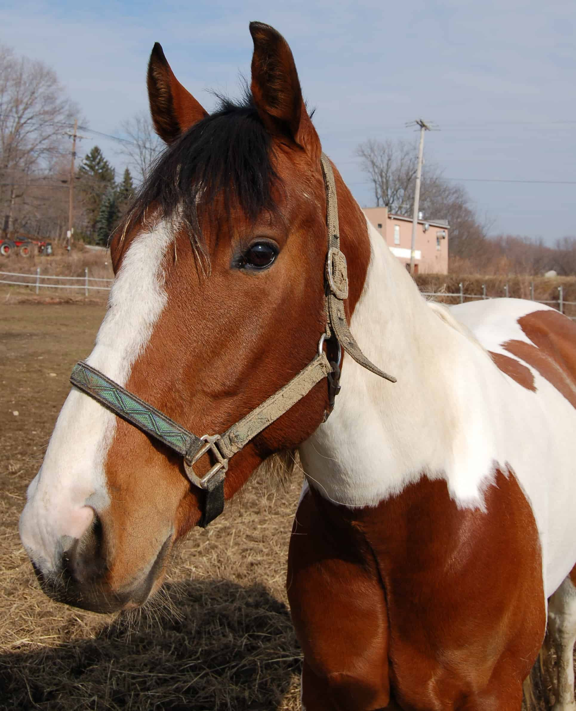 An American Paint horse in the pasture.