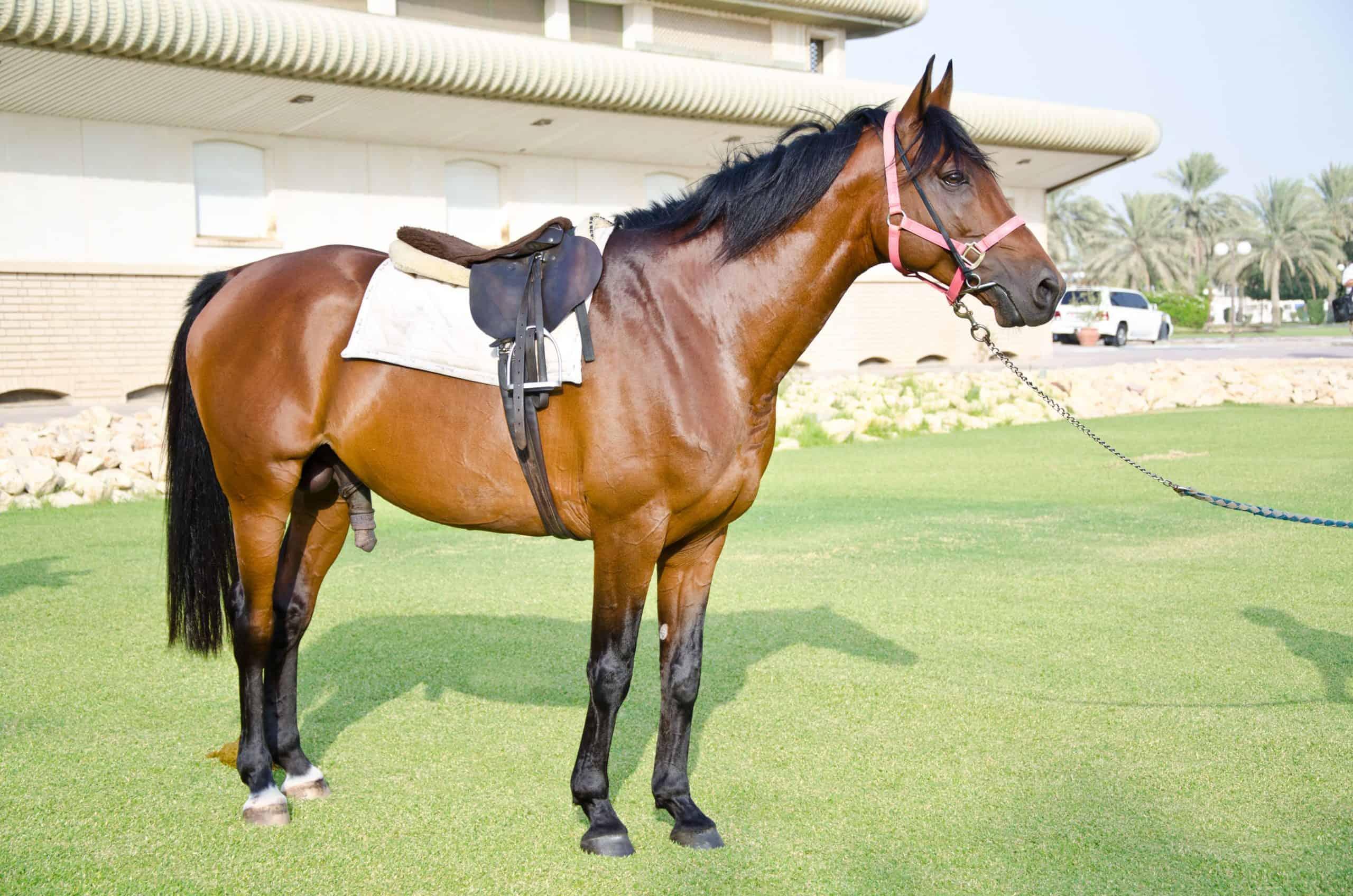 Original Arabian Horses