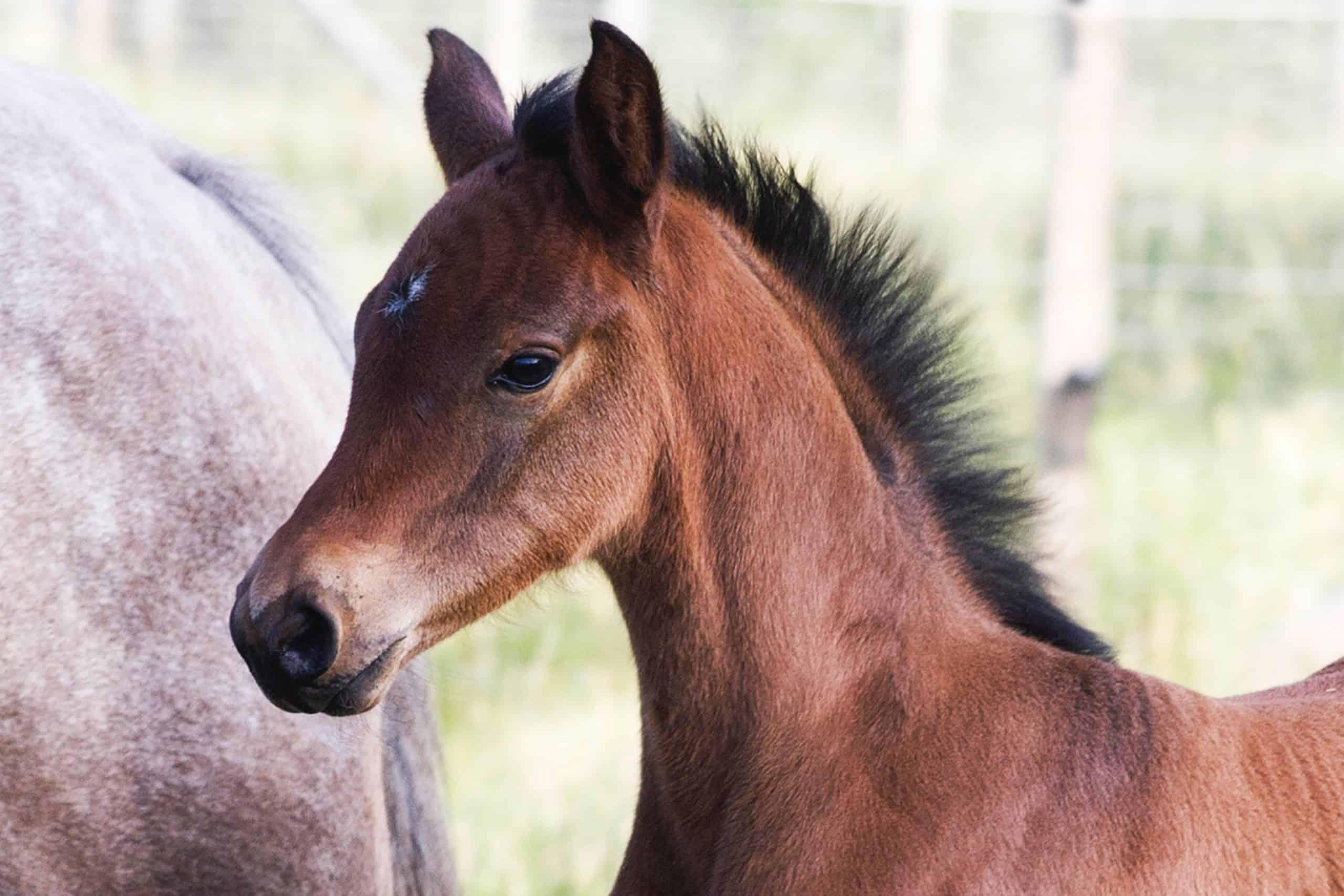 foal mane
