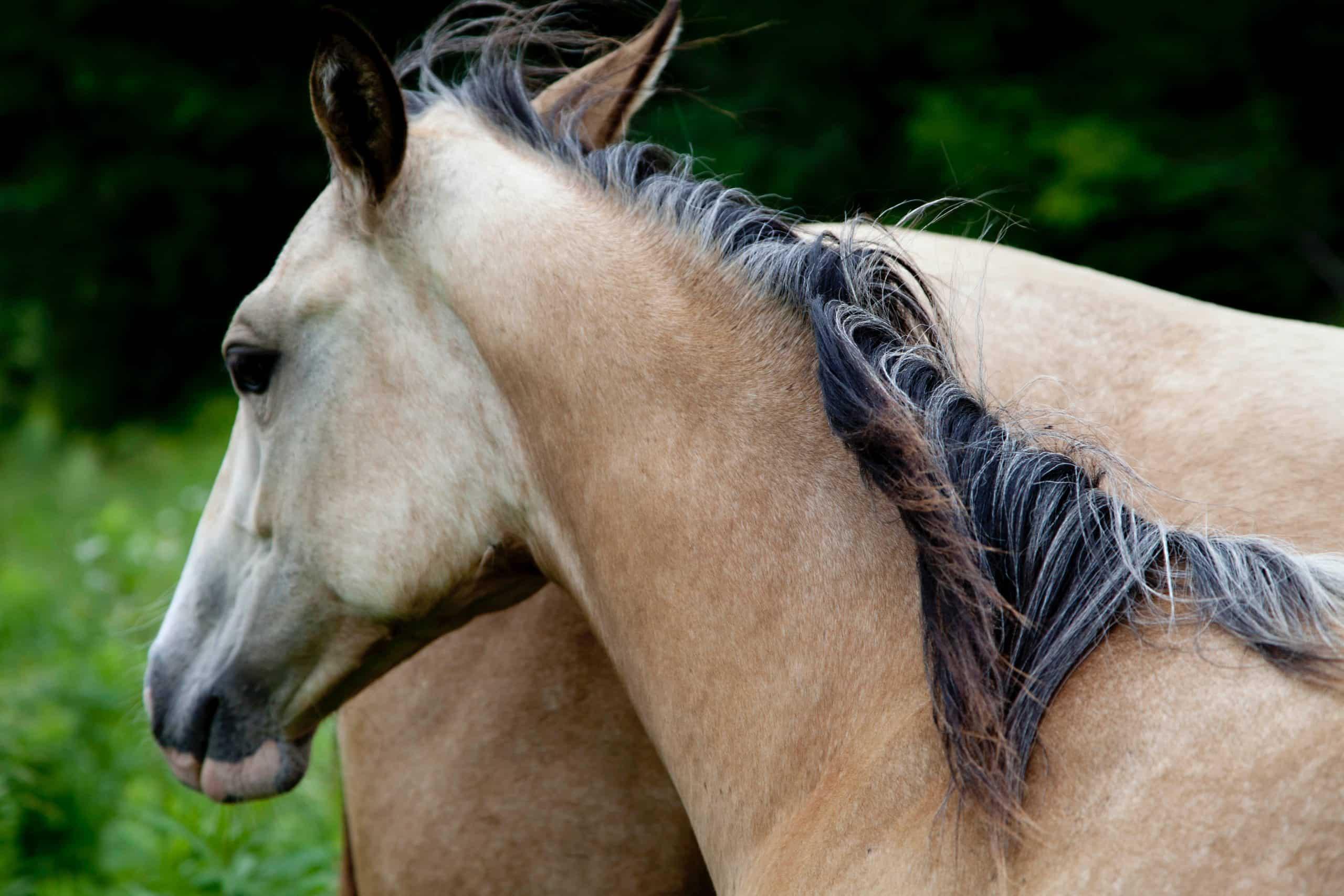 horse mane tips