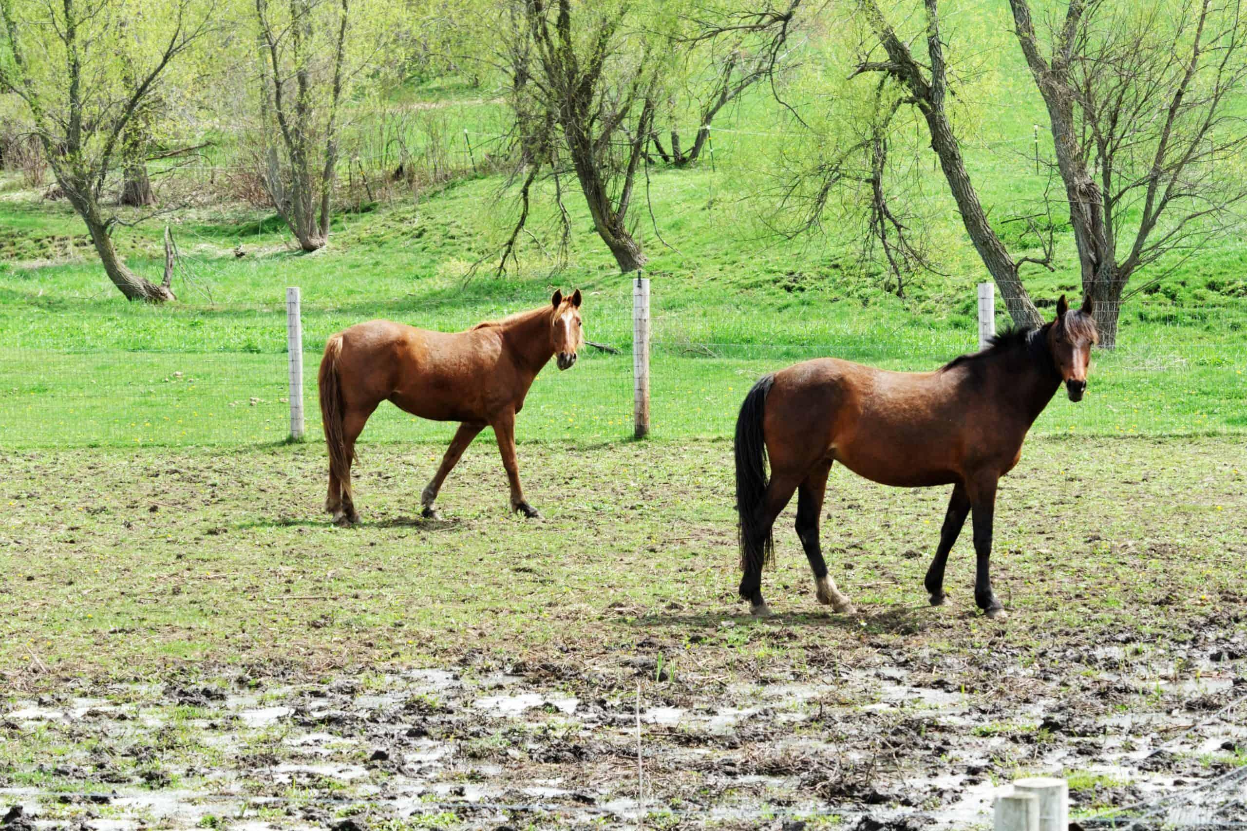 Horses in Muddy Pasture