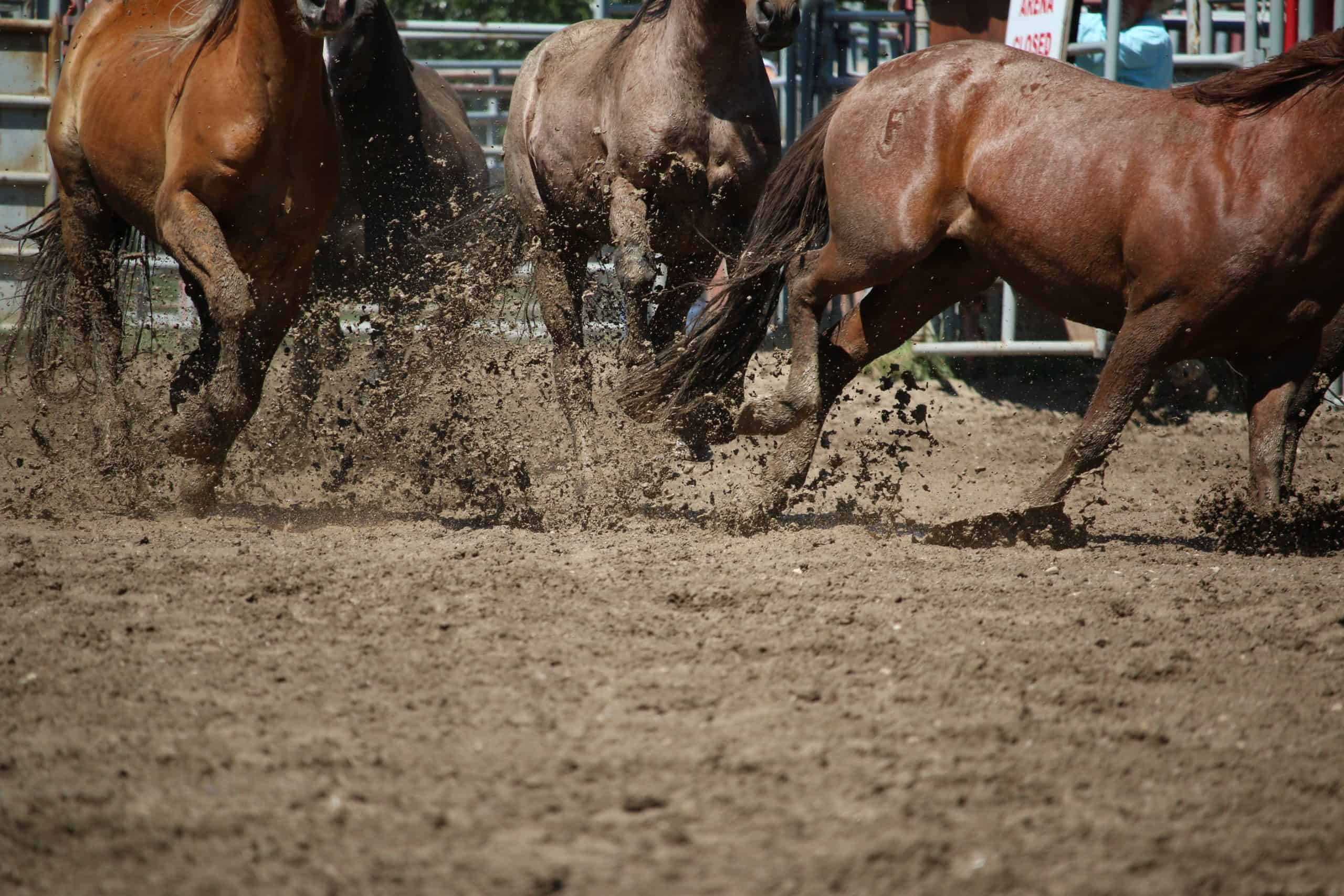 A group of brown horses running through a paddock.