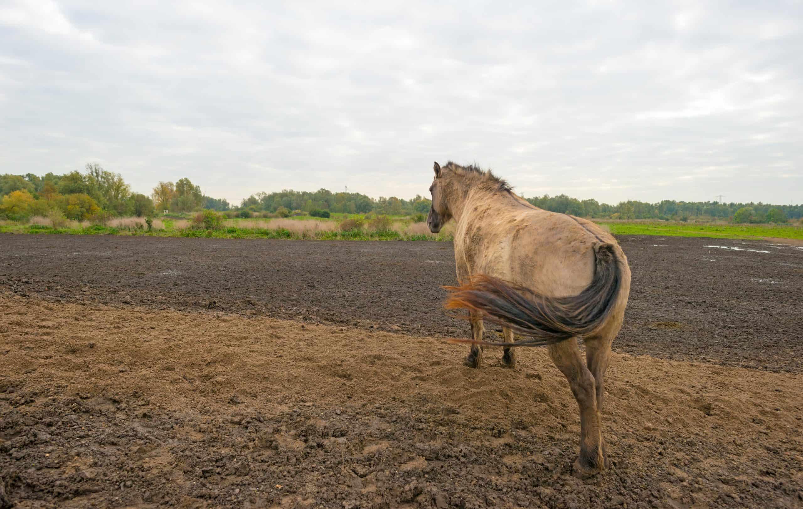 Konik horse on a hill in autumn