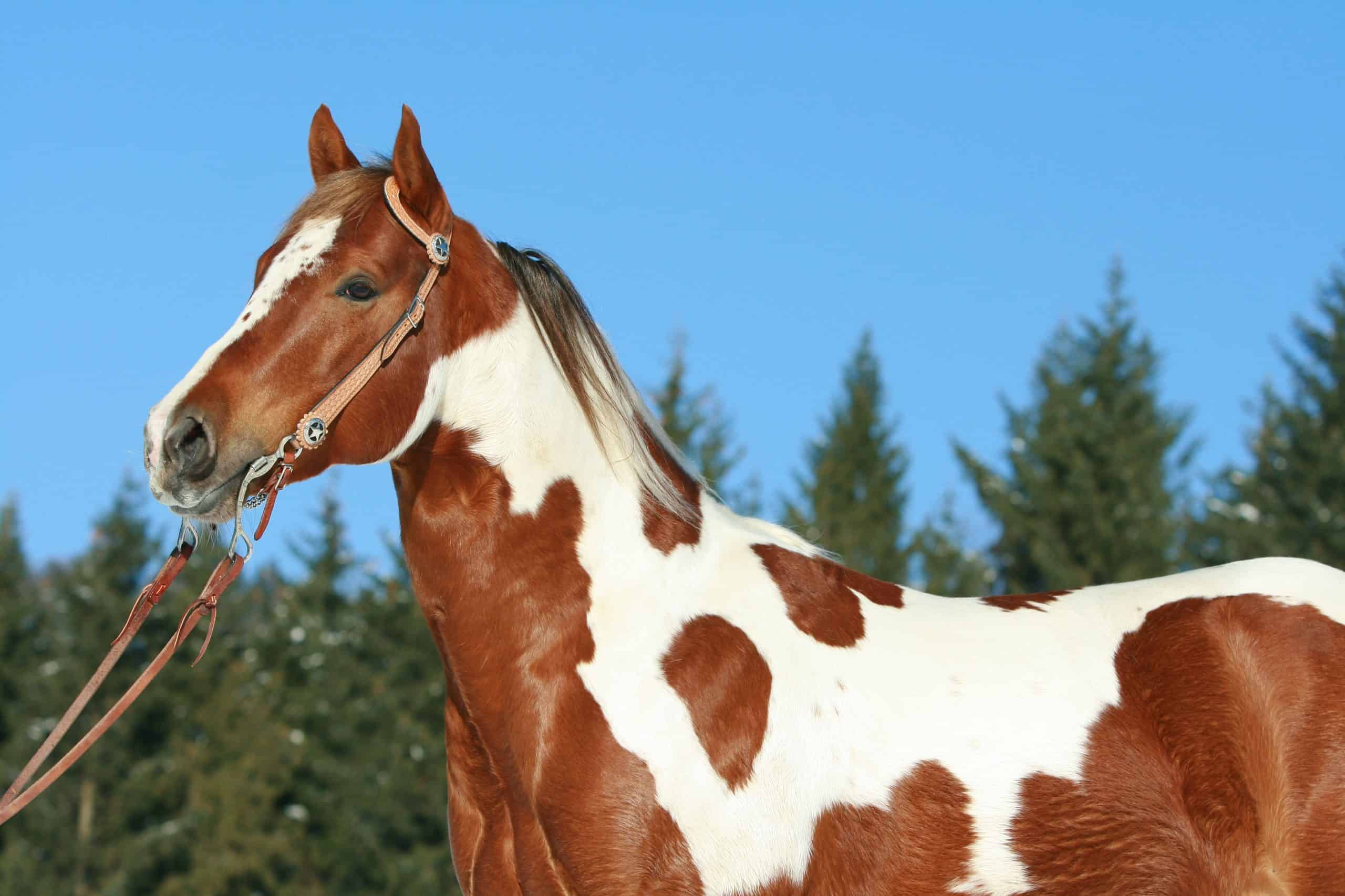 Lovely paint horse with western bridle
