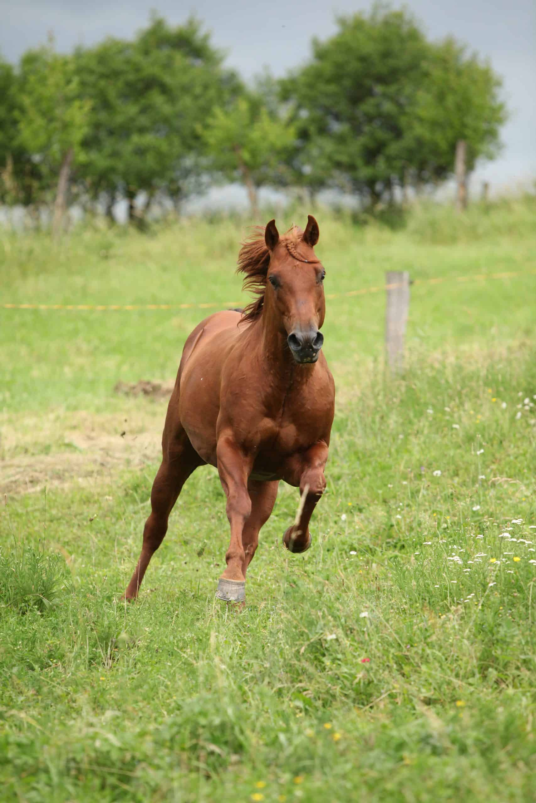 Nice Quarter horse stallion running on pasturage before a storm