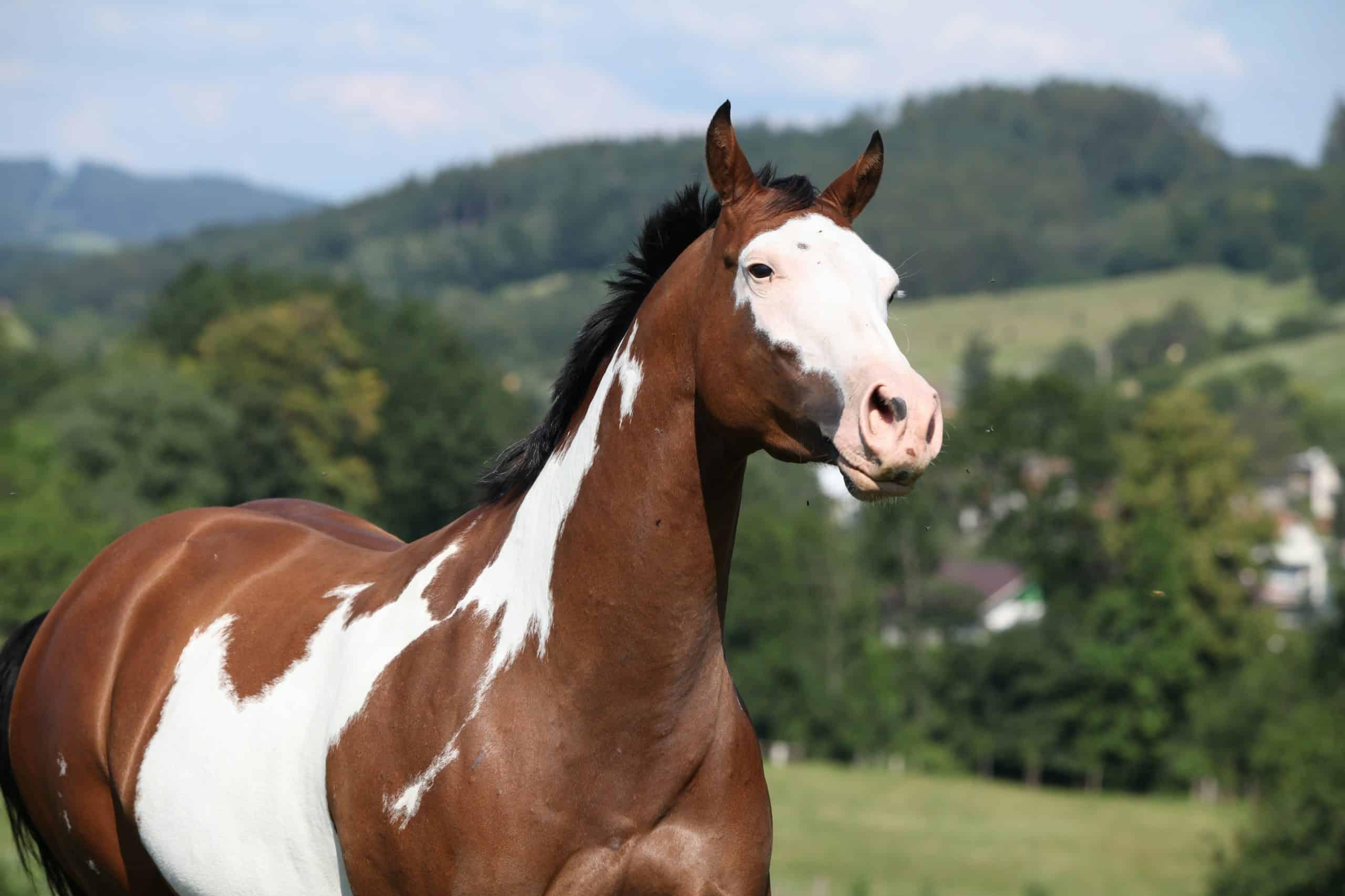 Running Paint Horse