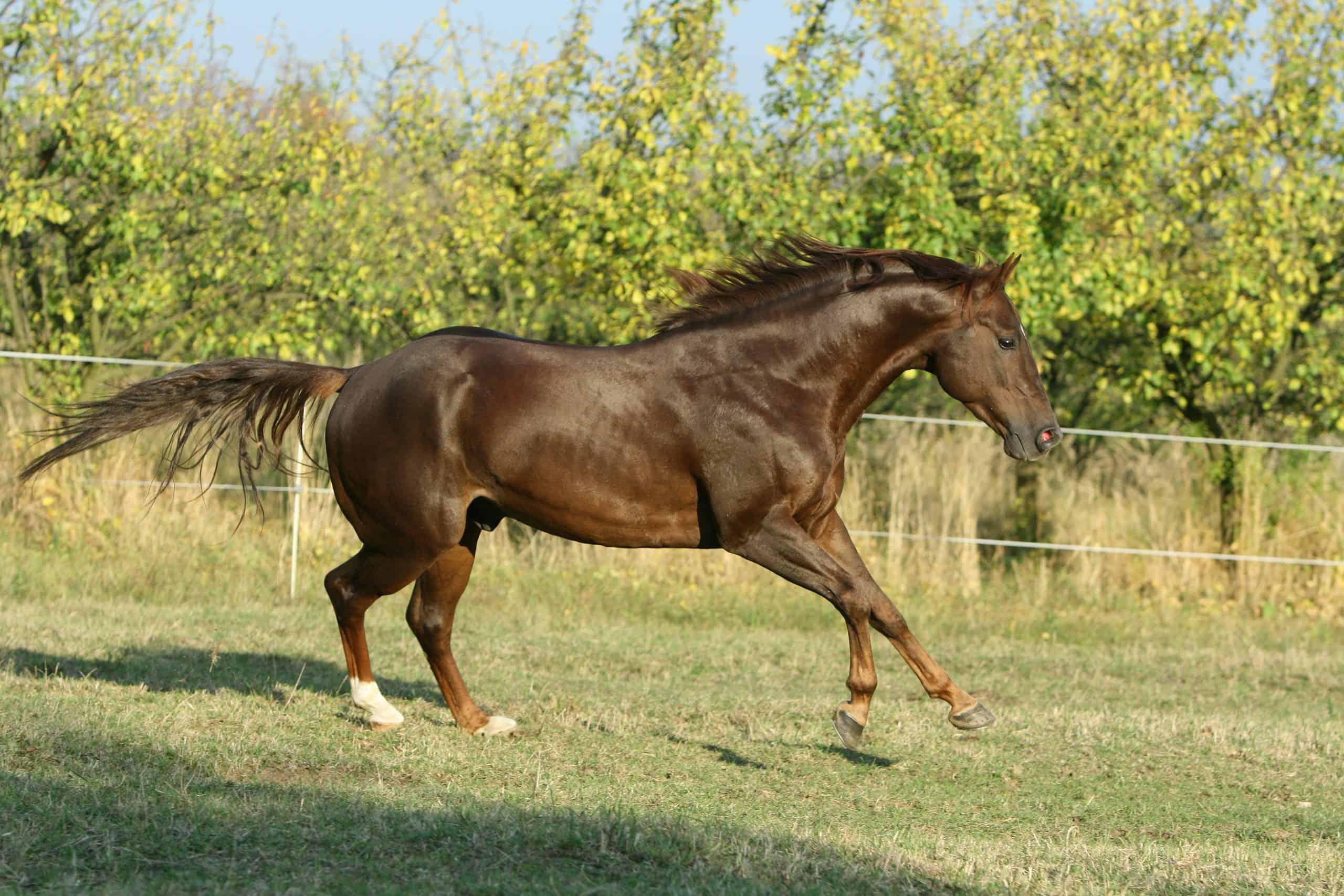 Perfect brown quarter horse stallion running in autumn