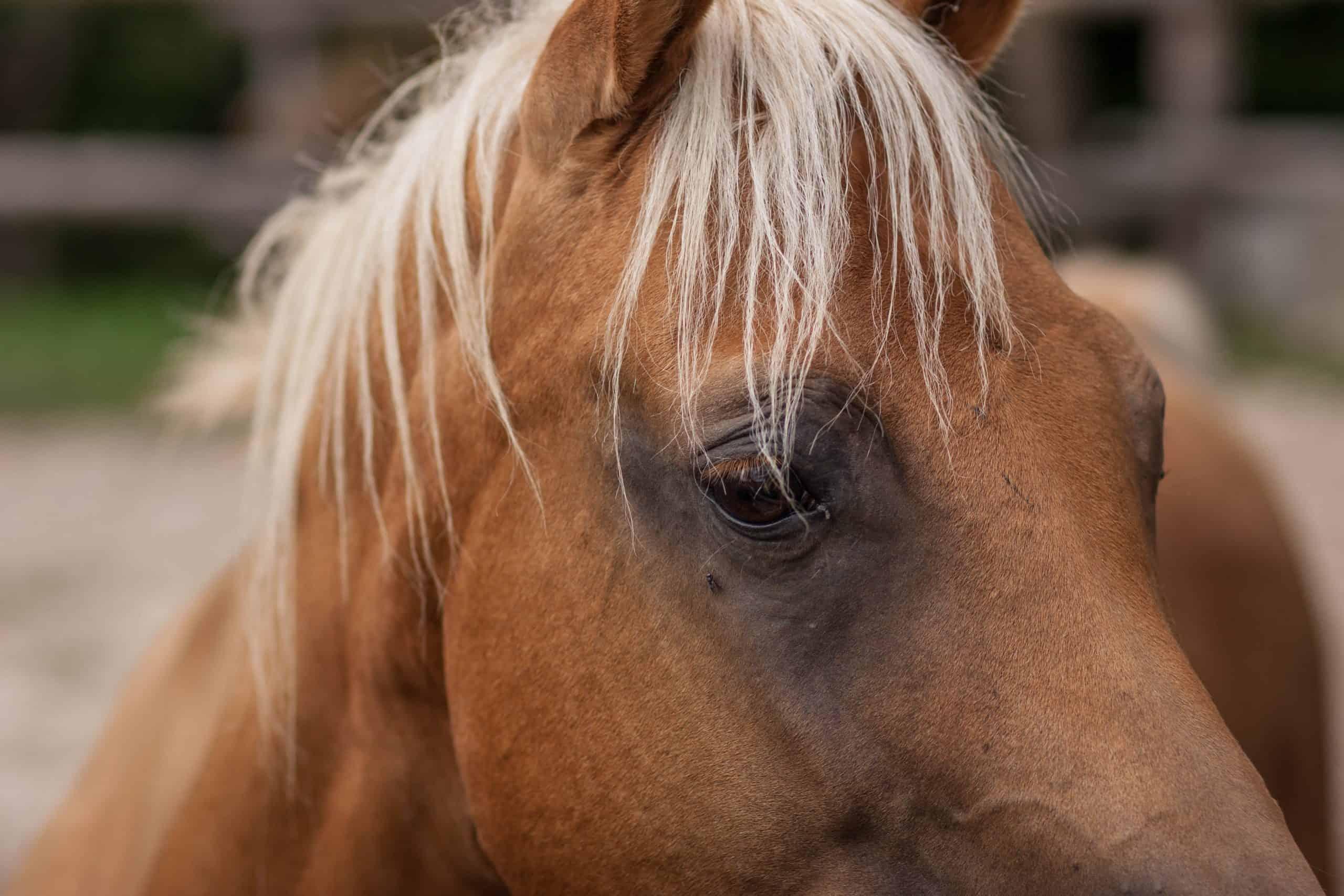 Portrait close up of a quarter horse.