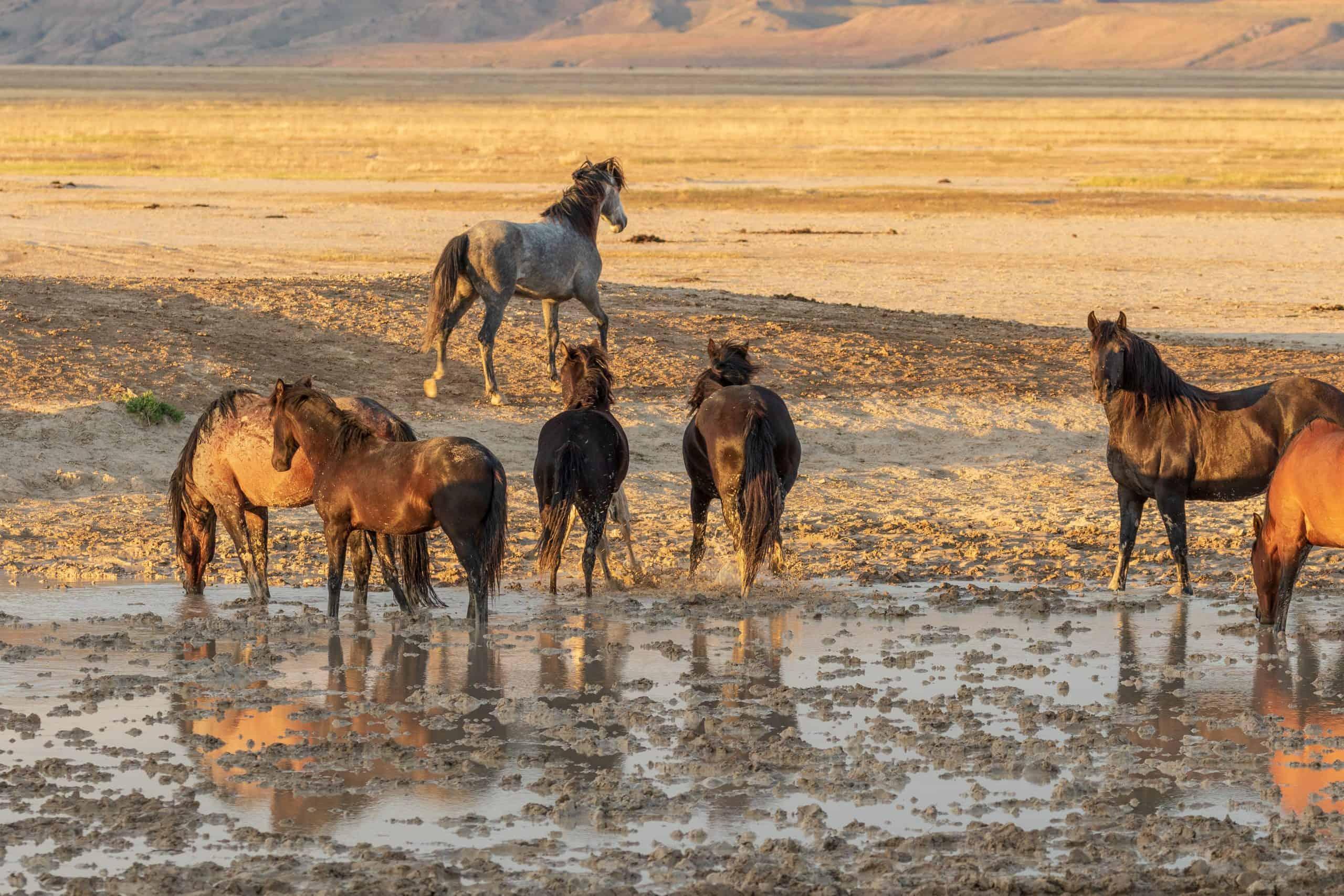 a herd of wild horses at a waterhole in the Utah desert