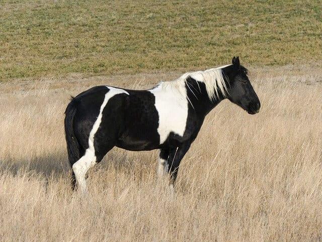 p3 quarter-horse-258669_640