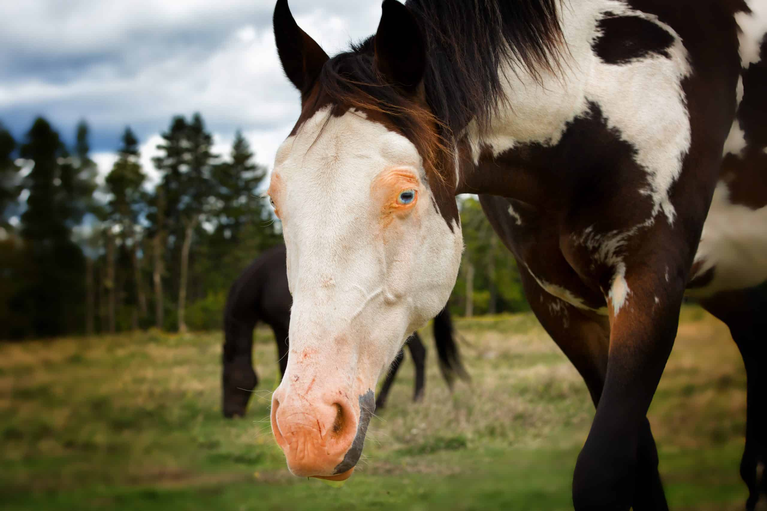 Beautiful horse with white face, pink nose and blue eye.