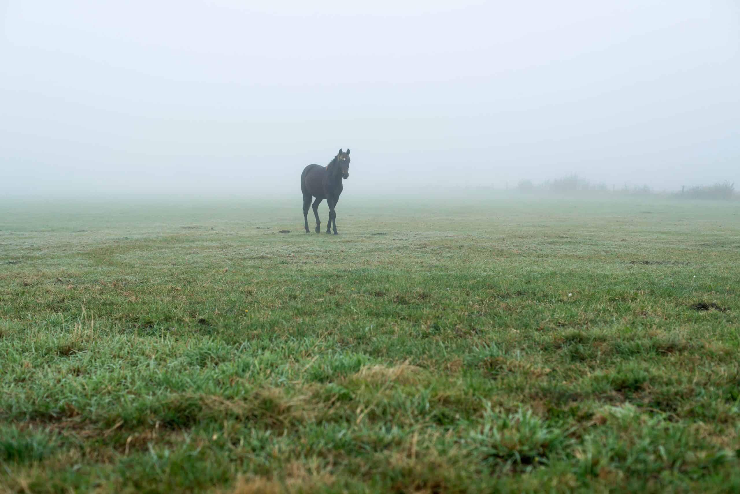 Lonely black horse in misty meadow. Geesteren. Achterhoek. Gelderland. The Netherlands.