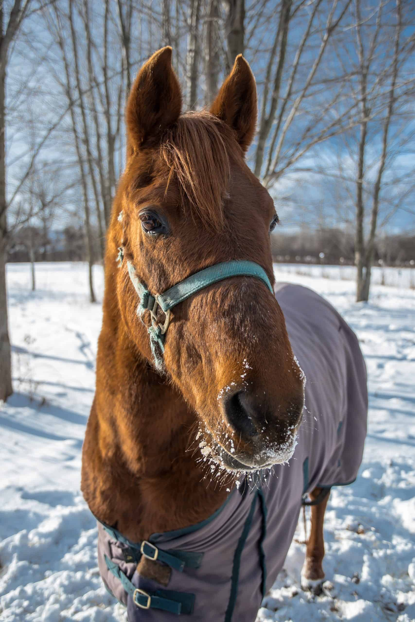 Closeup of Morgan Horse in the Snow