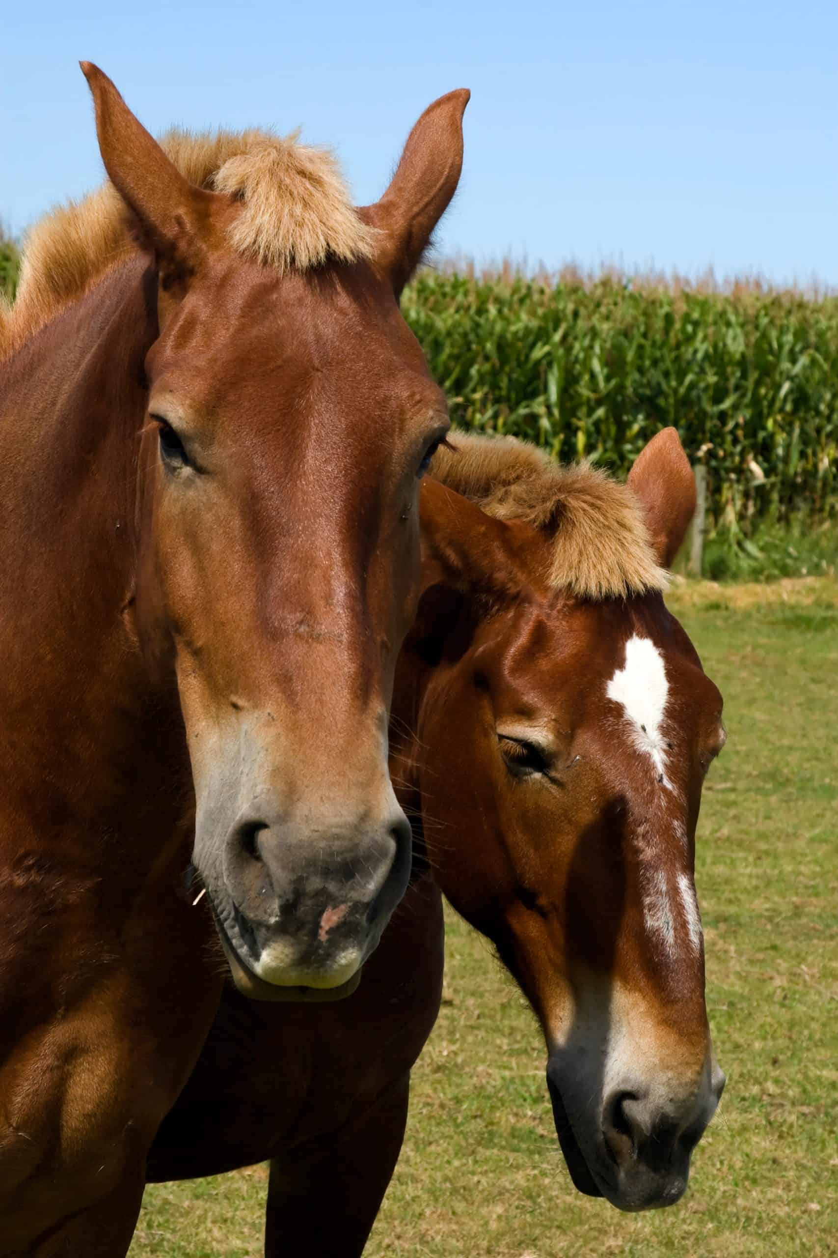 Two morgan horses on an Amish farm.