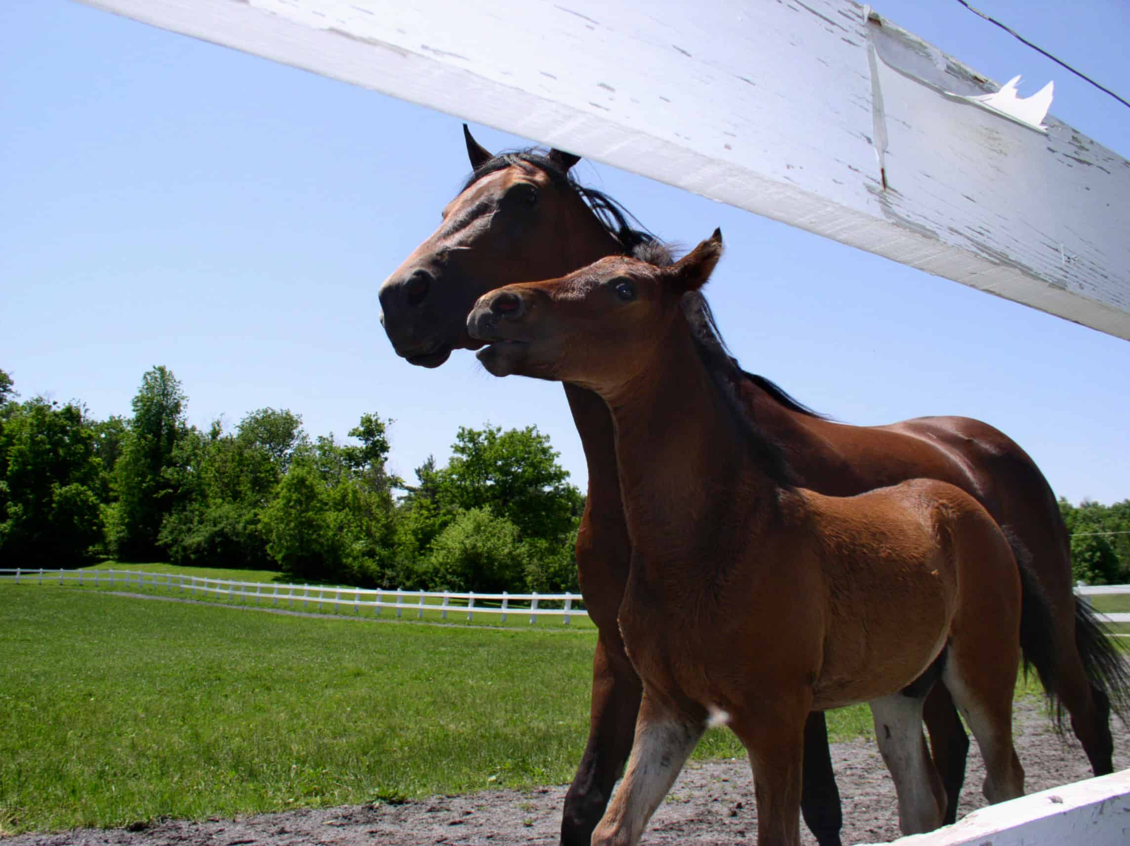 Two morgan horses, a mother and foal, run along the side of their paddock on a clear Vermont summer day.
