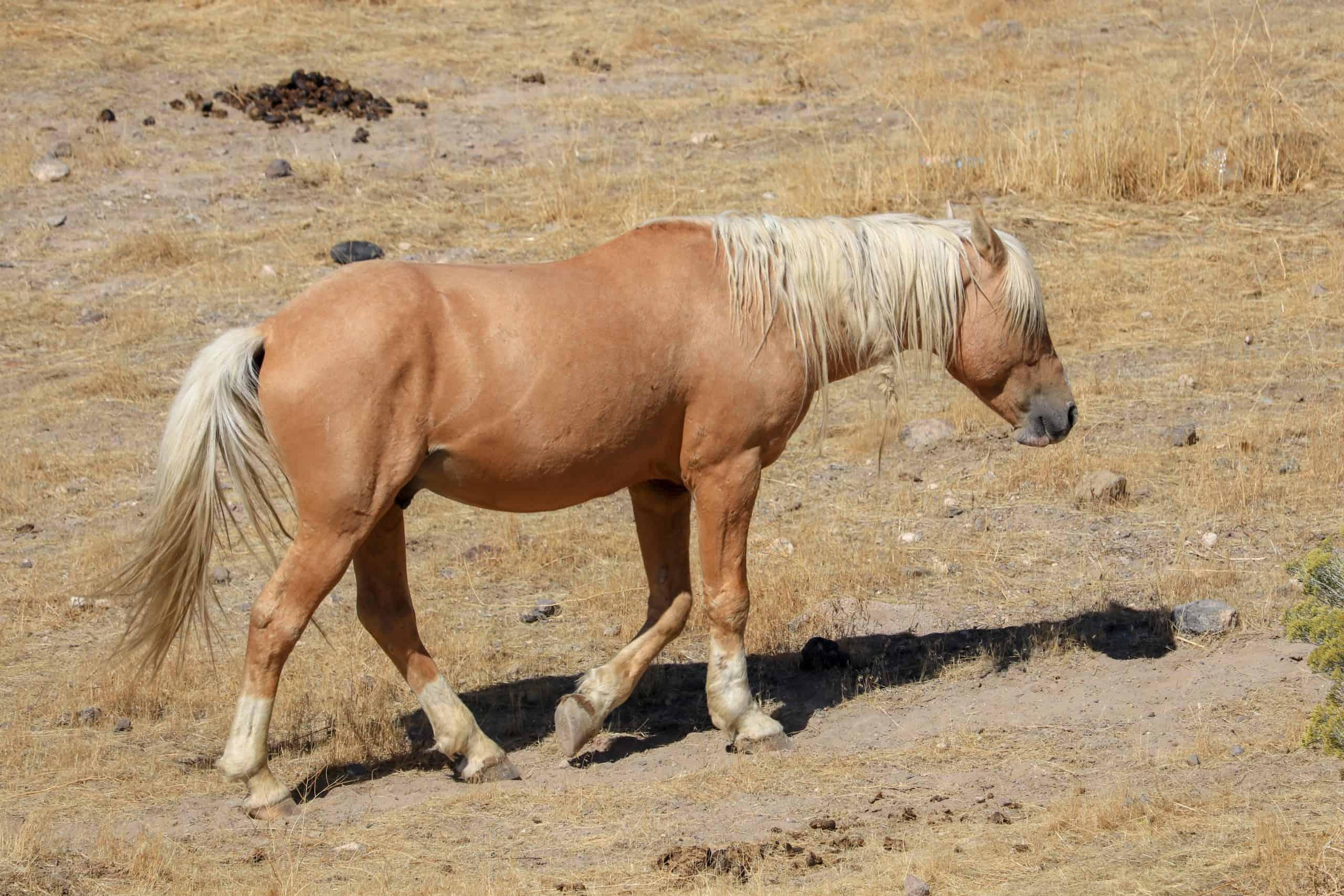 Wild American mustang stallion horse alone in the high sierra Nevada desert, Palomino cross