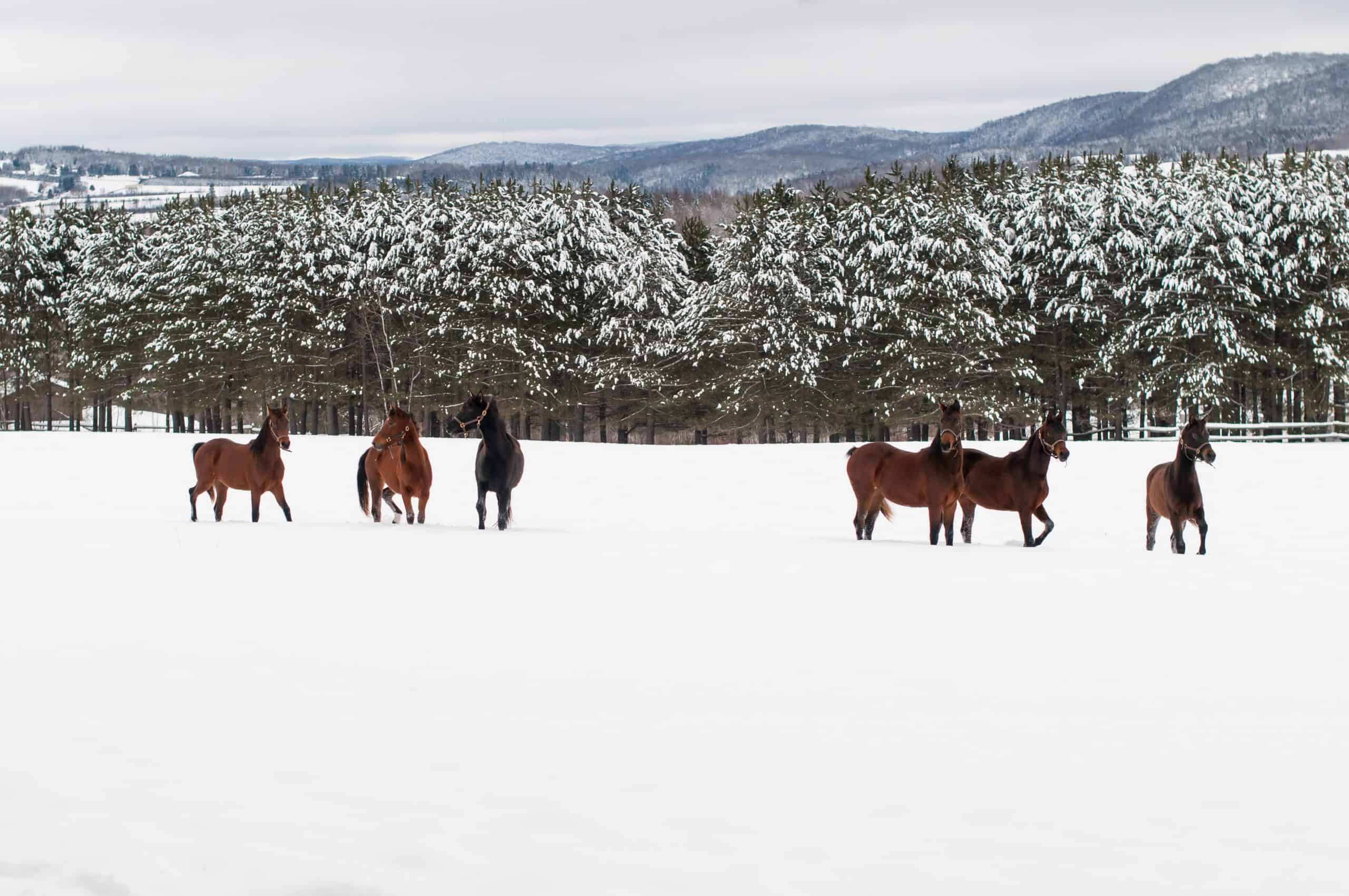 Group of Morgan horses in winter. Tall pine trees in the background and mountain range. Brown and black horses standing near a fence on a country farm. Bright white snow on the ground and cloudy skies. Christmas season, holidays, equine photography. Horizontal orientation.