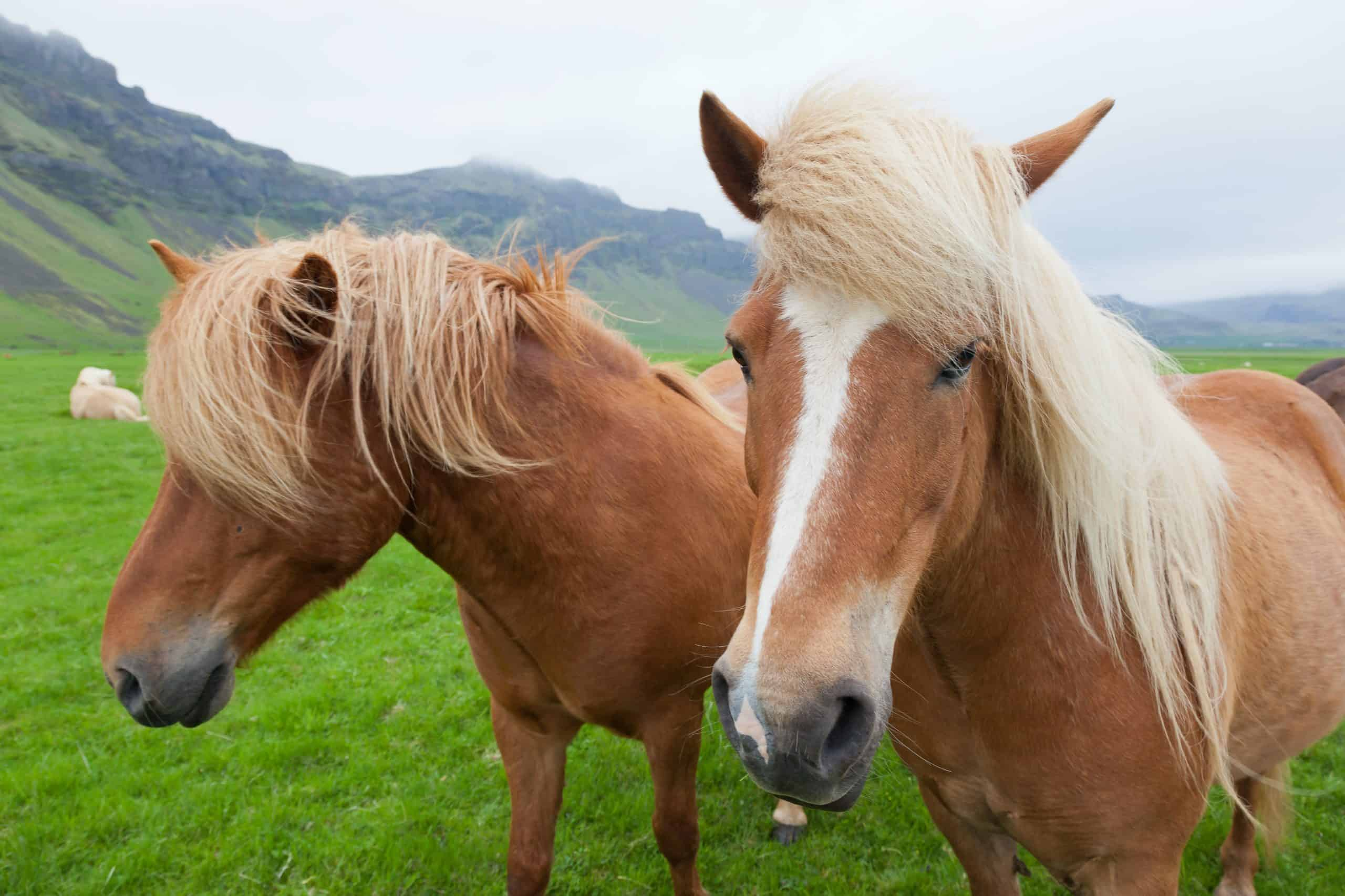 Two nice horses with chestnut hair coat walking in a summer