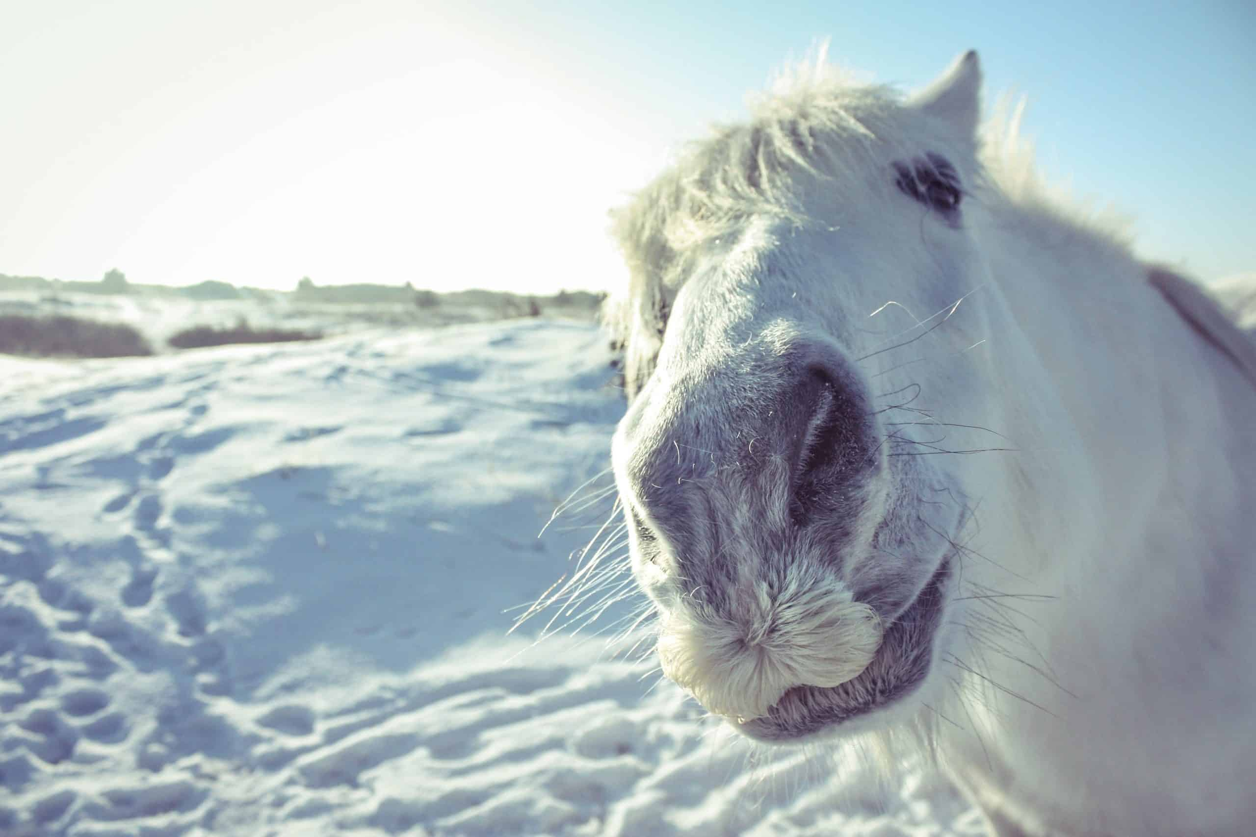 Curious white horse looking in the camera on a snow field in Dutch winter time.