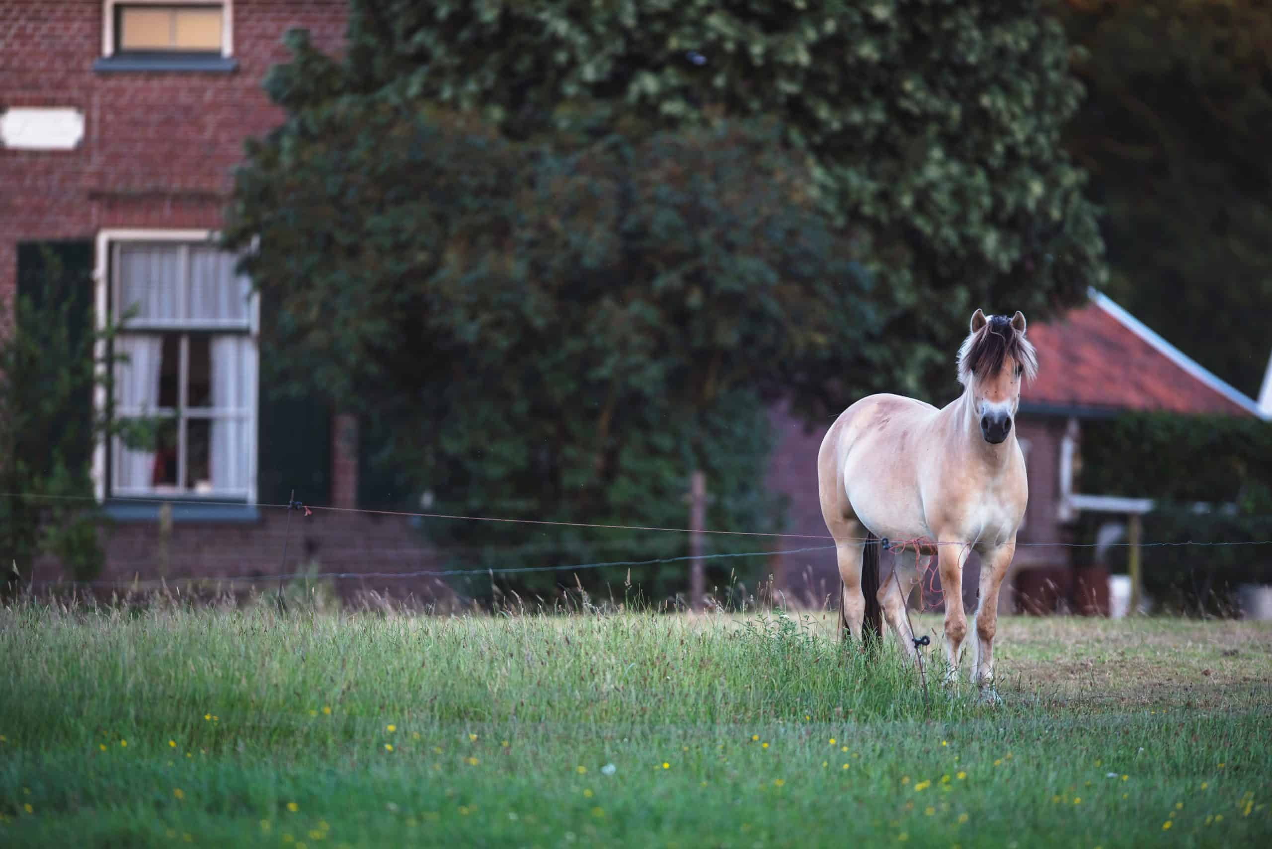 Fjord horse in meadow of farmhouse.