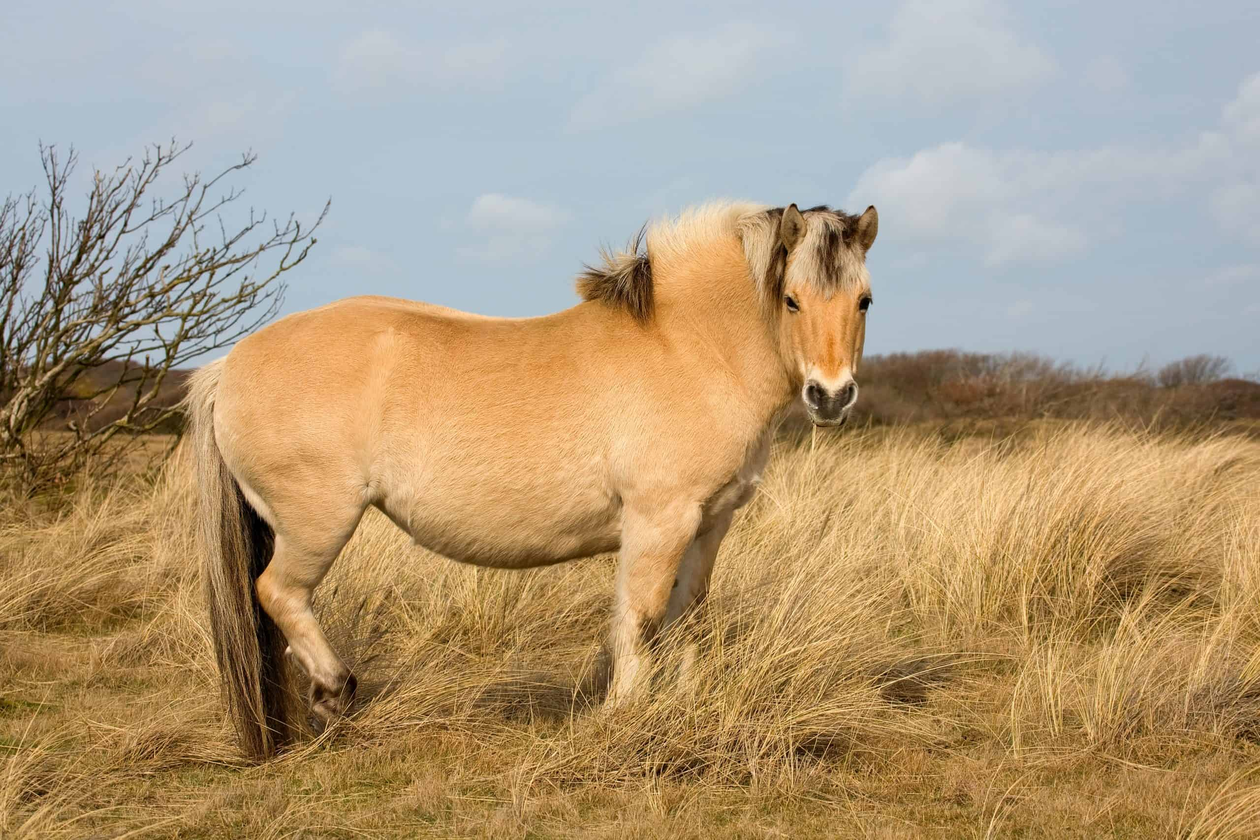 Norwegian Fjord horse in nature resevoir (dune area)