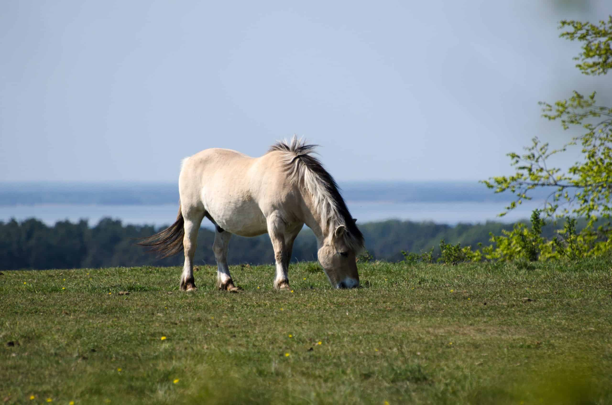 Grazing fjord horse at a hill at springtime