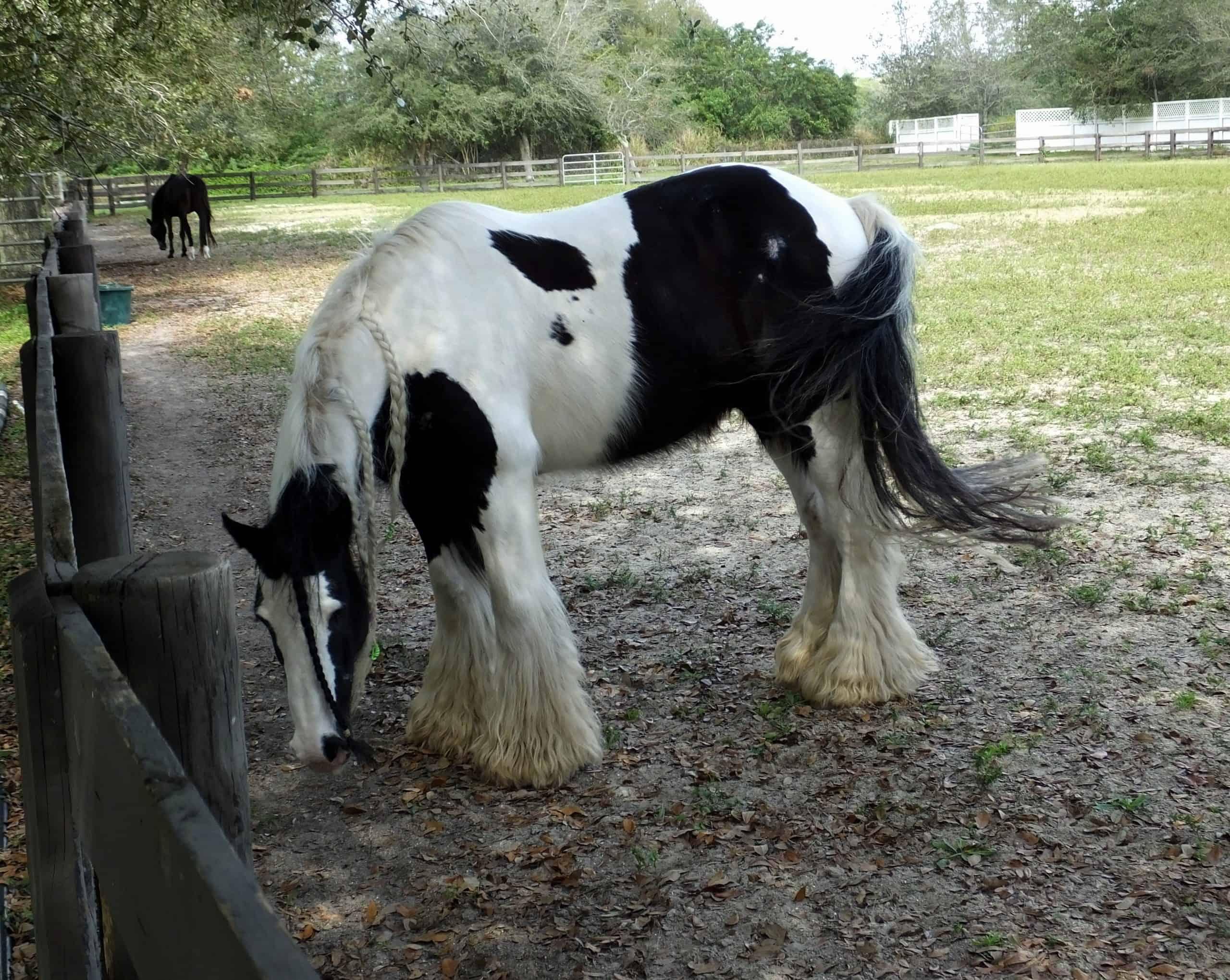 irish horse breeds Gypsy Vanner horse with a braided mane.