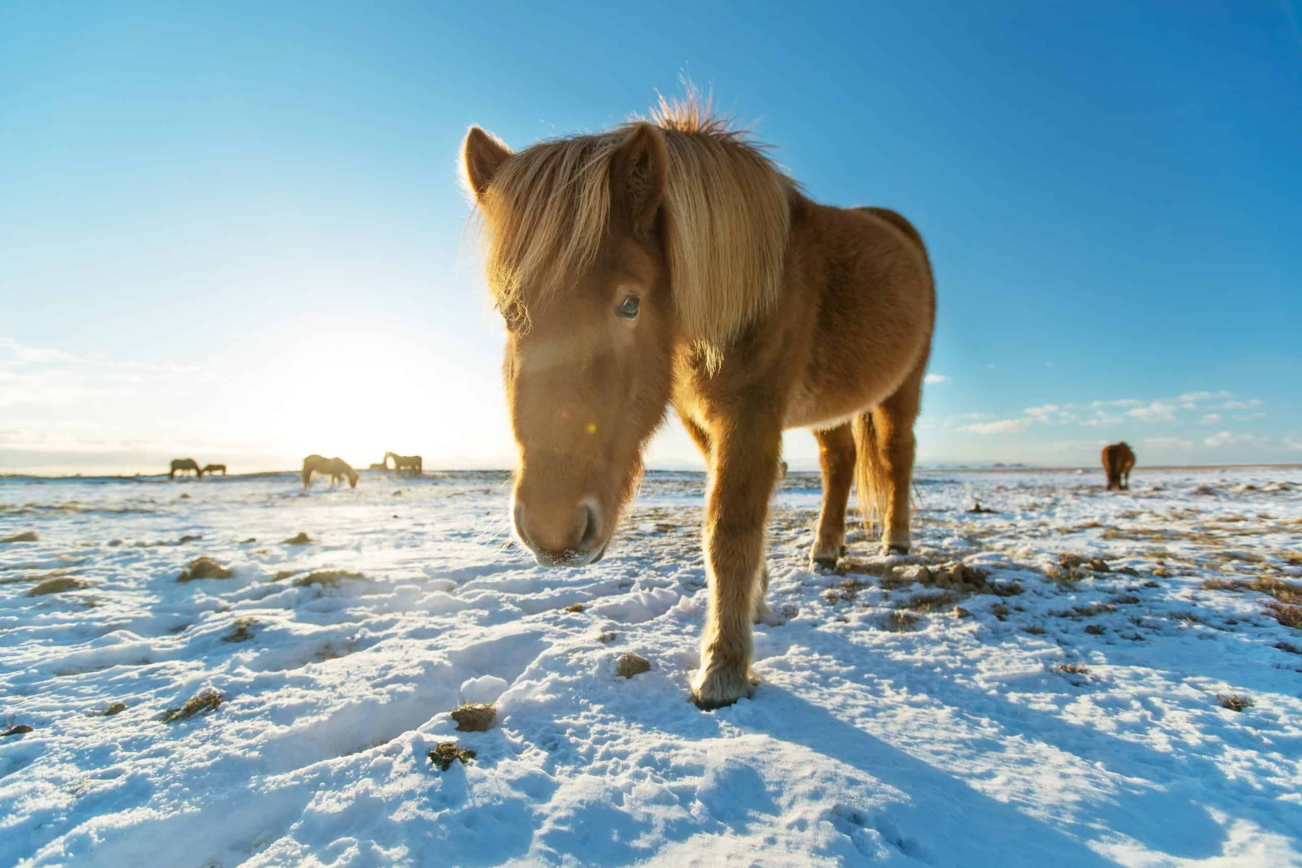 horses in winter landscape. Iconic symbol of Iceland fauna, tourist point of interest
