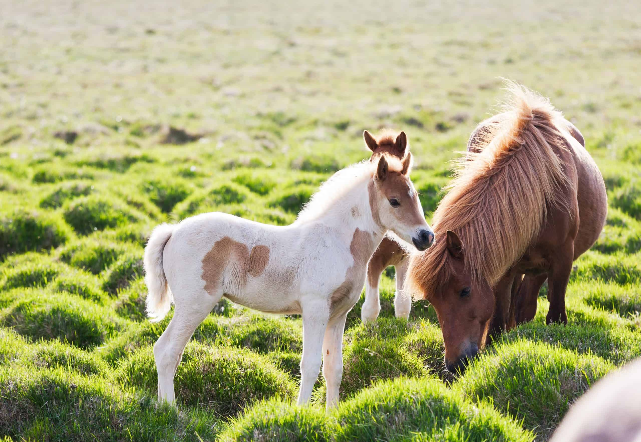 horse with her colt. Iceland, Europe.