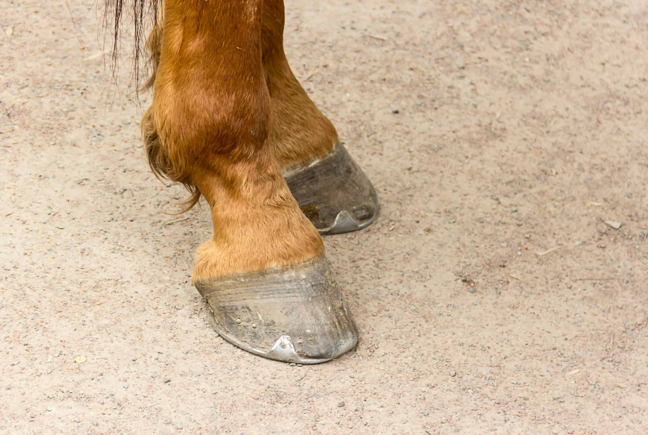 Metal horseshoe on the hooves of a young brown horse close-up against the ground