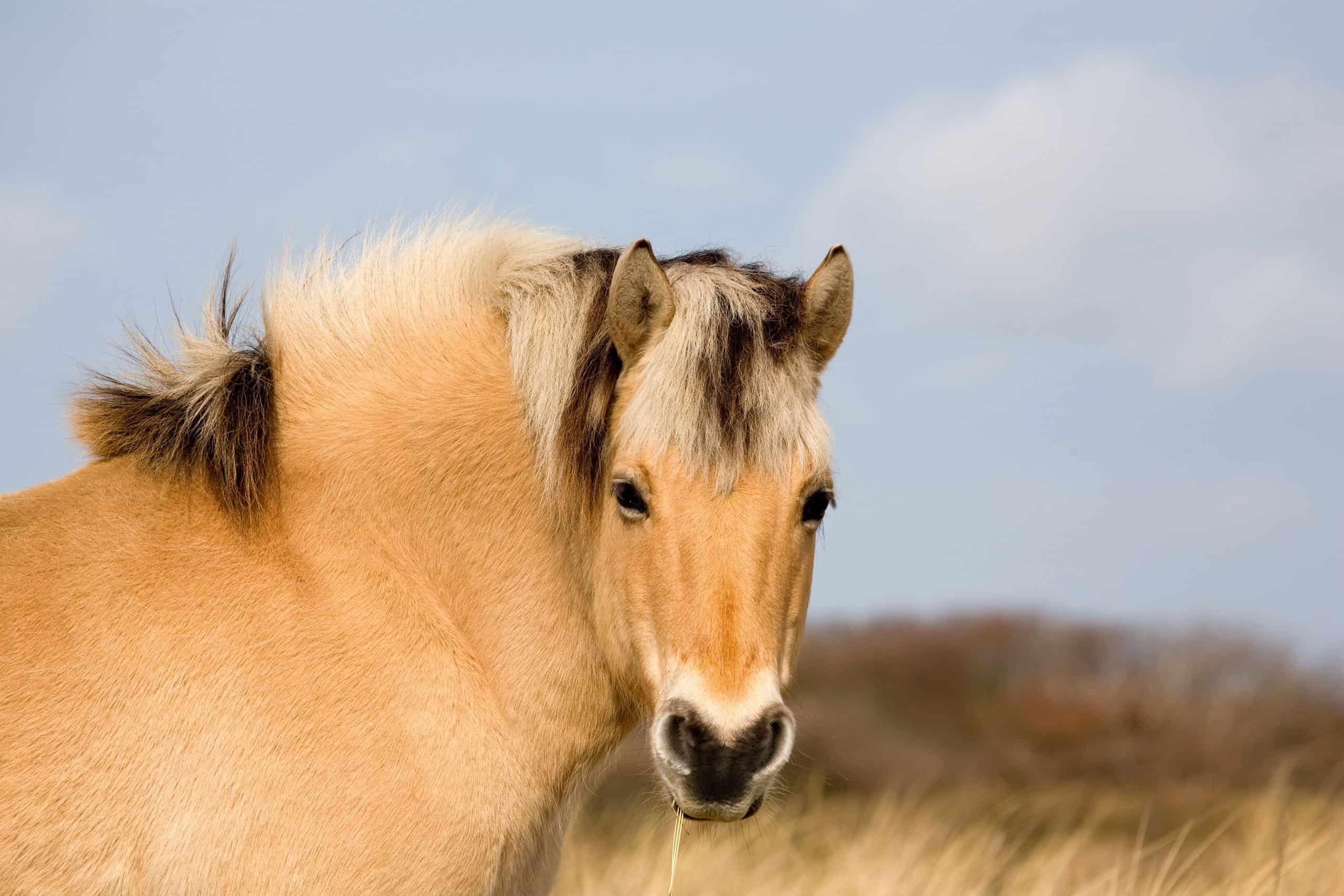 Przewalski´s horse head shot-closeup