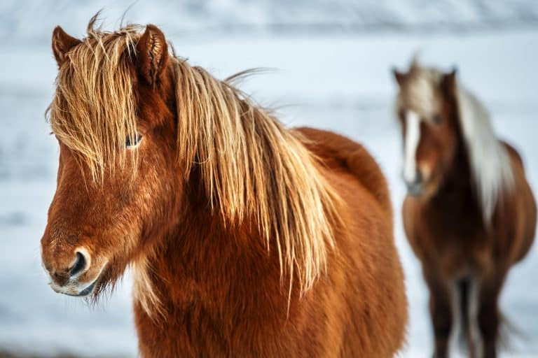 Portrait of a beautiful horses, pair of a gorgeous animals in the winter outdoors, eco tourism, beauty o fauna